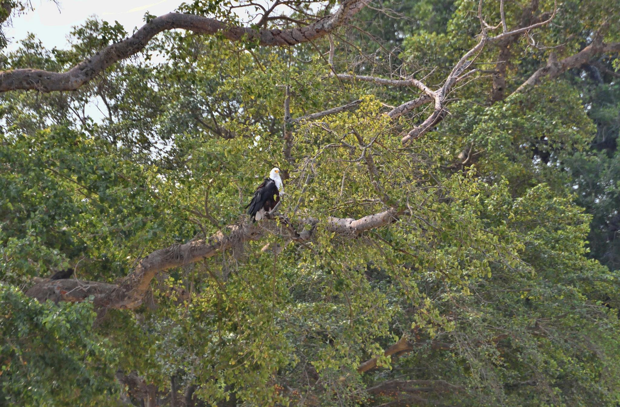 South Africa - Kruger Park (186) African Fish Eagle by Derek Clarke