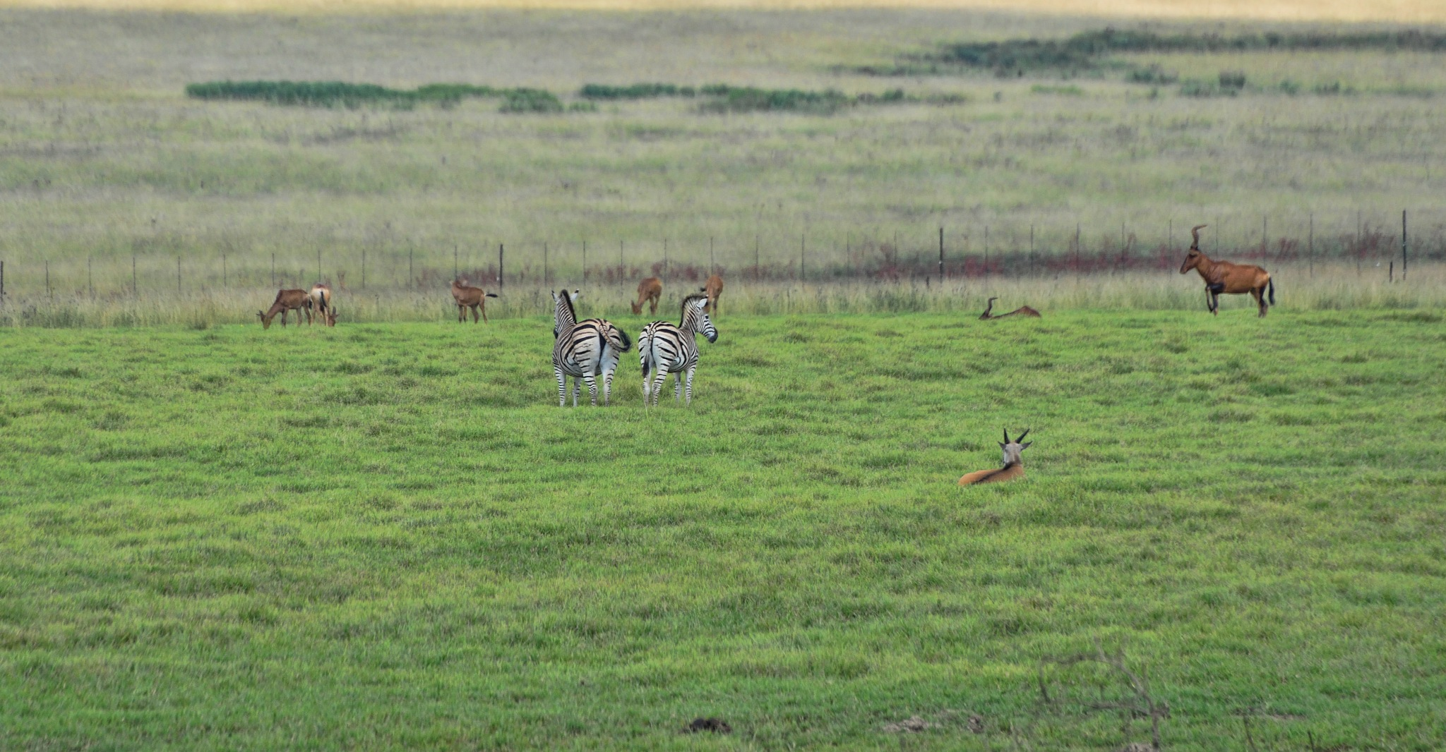 South Africa - Animals (446) Steenbok and Zebra by Derek Clarke
