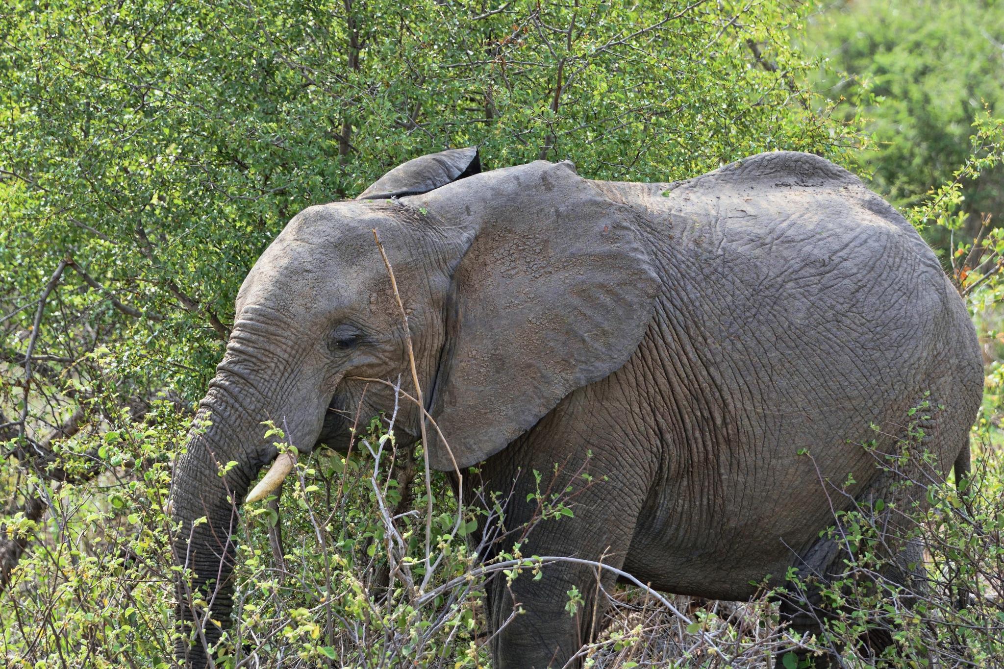 South Africa - Kruger Park (196) African Elephant by Derek Clarke