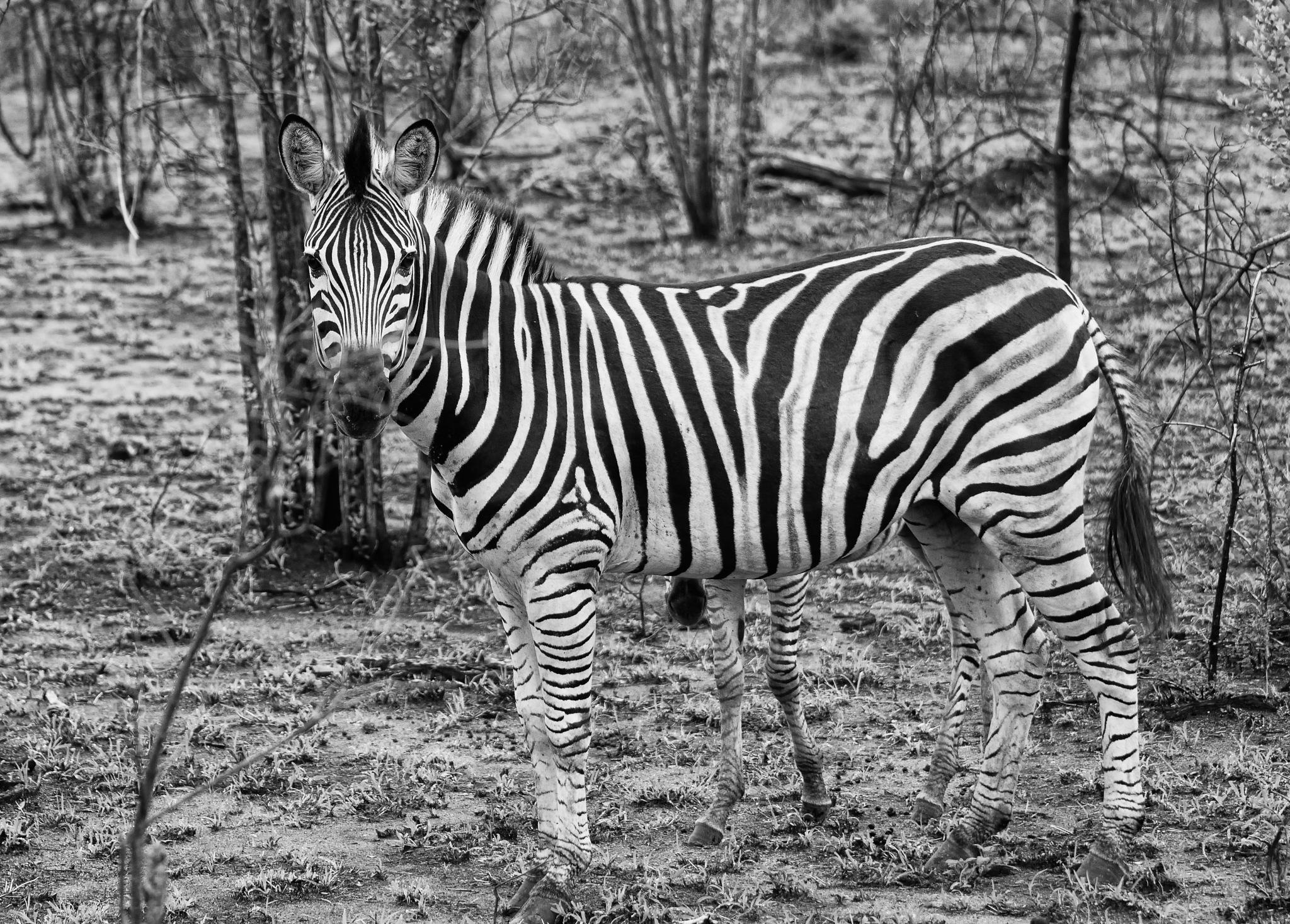 South Africa - Kruger Park (279) Burchell's Zebra by Derek Clarke