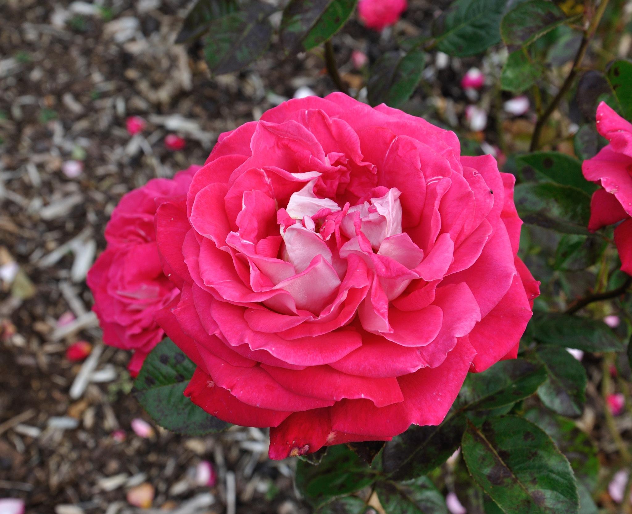 Flowers (49) by Derek Clarke