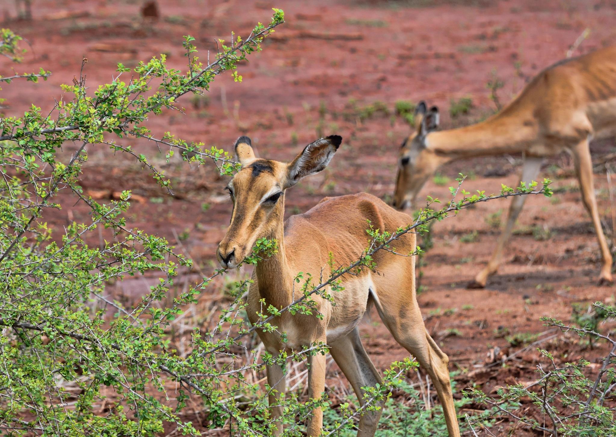 South Africa - Kruger Park (173) Impala by Derek Clarke
