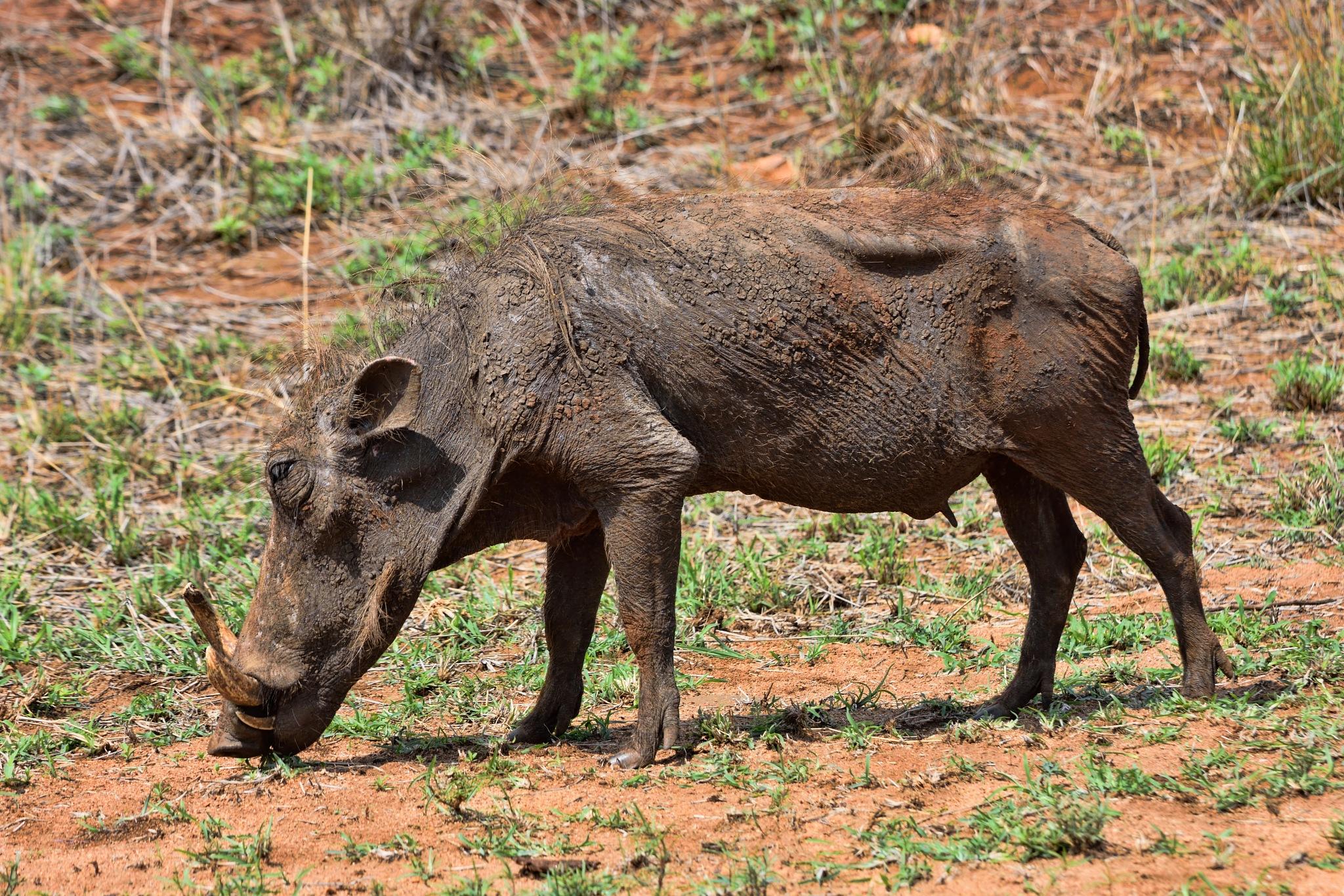 South Africa - Kruger Park (152) Warthog by Derek Clarke