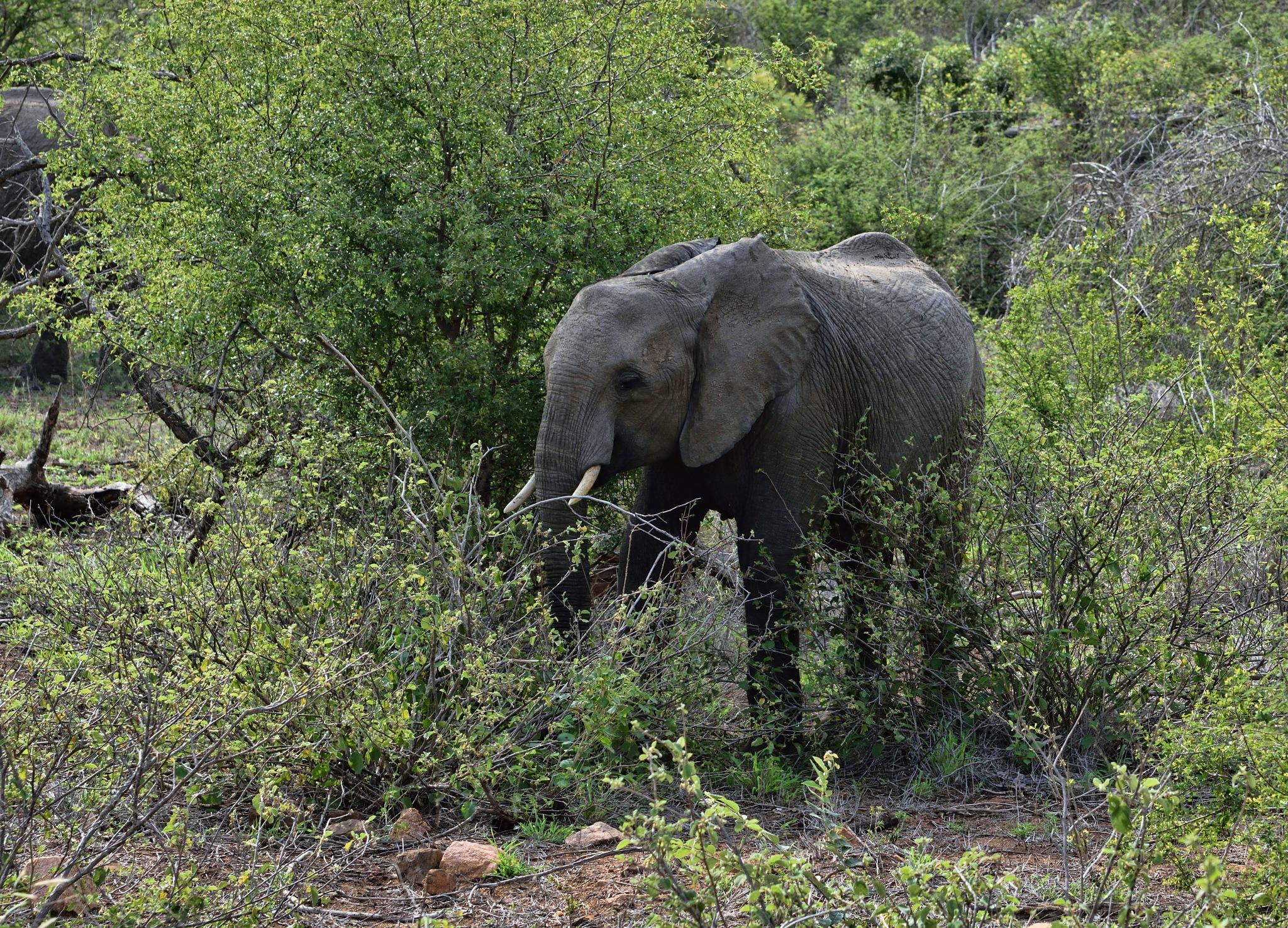 South Africa - Kruger Park (192) African Elephant by Derek Clarke