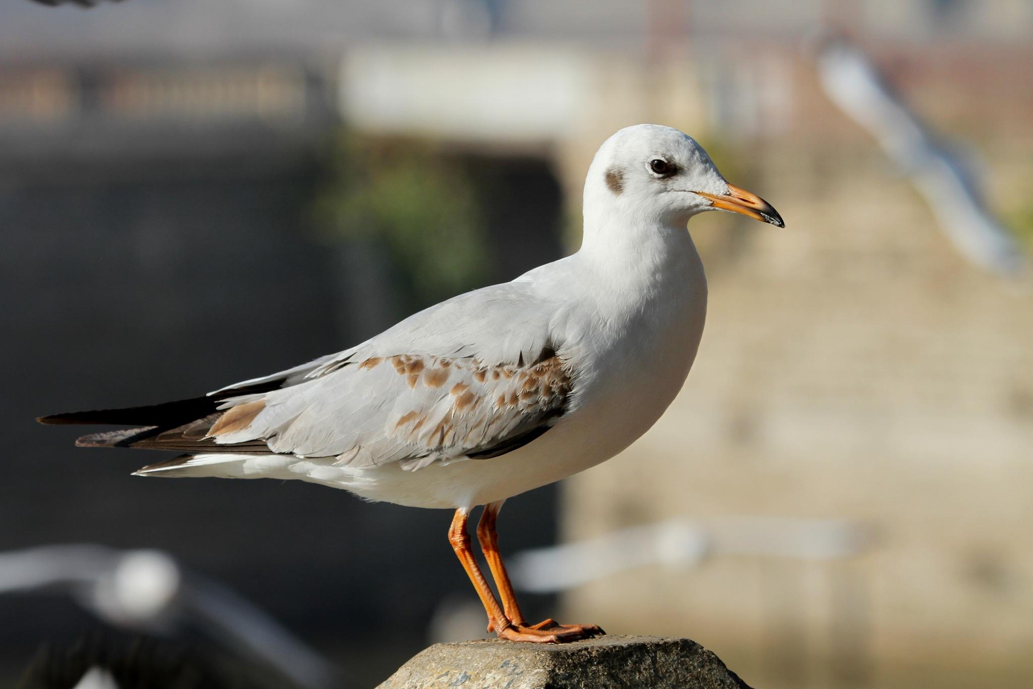 Brown Headed Sea Gull............... by NIRAJ MEHTA