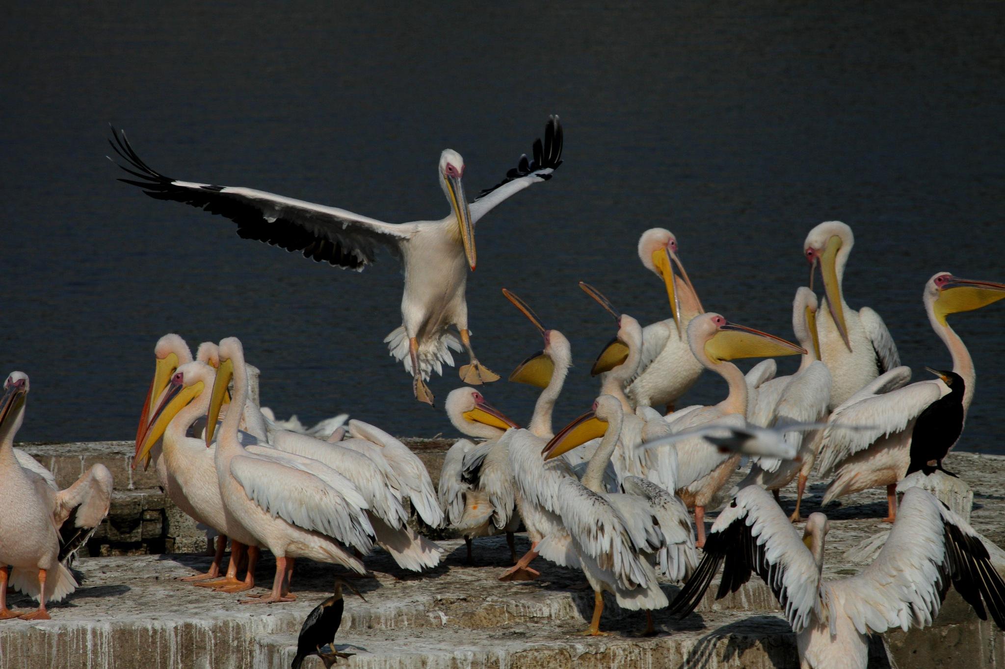 Great White Pelican in action.............. by NIRAJ MEHTA
