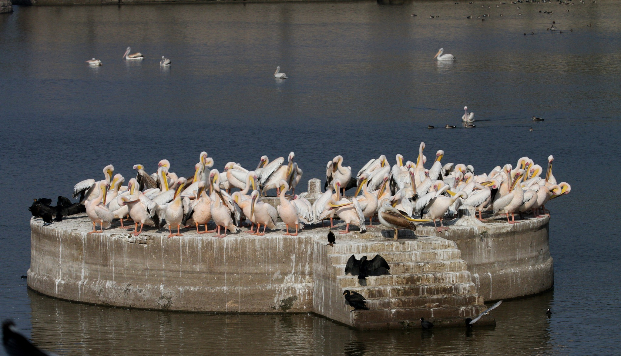 Groups of Great White PelicanS @ Jamnagar Lakhota LakE............. by NIRAJ MEHTA