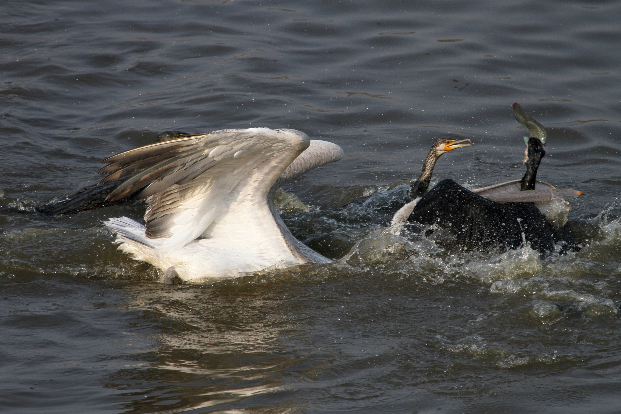 Pelican and Great Cormorant fight for fish............... by NIRAJ MEHTA