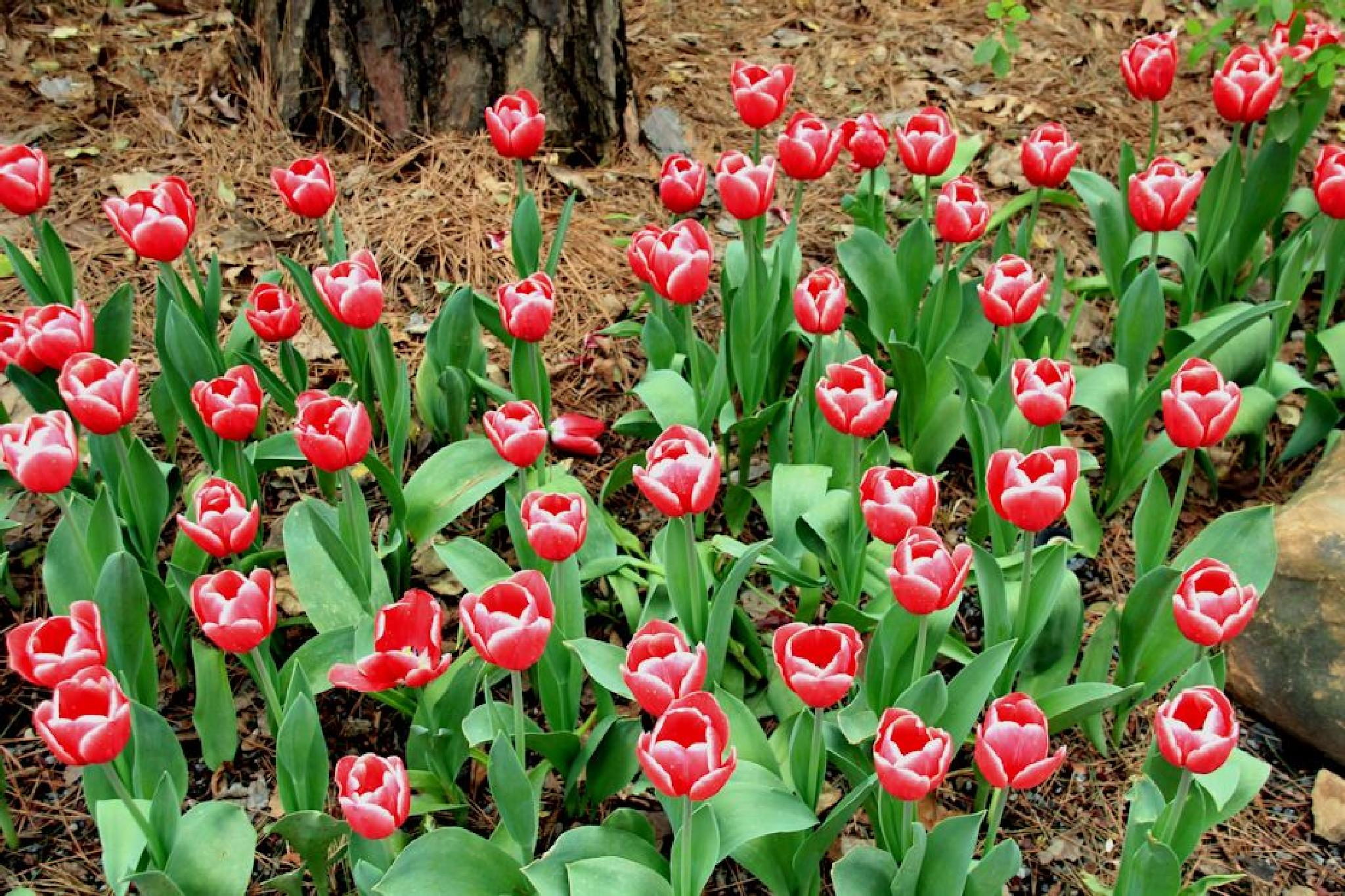 Red Tulips by dubblybubbly51