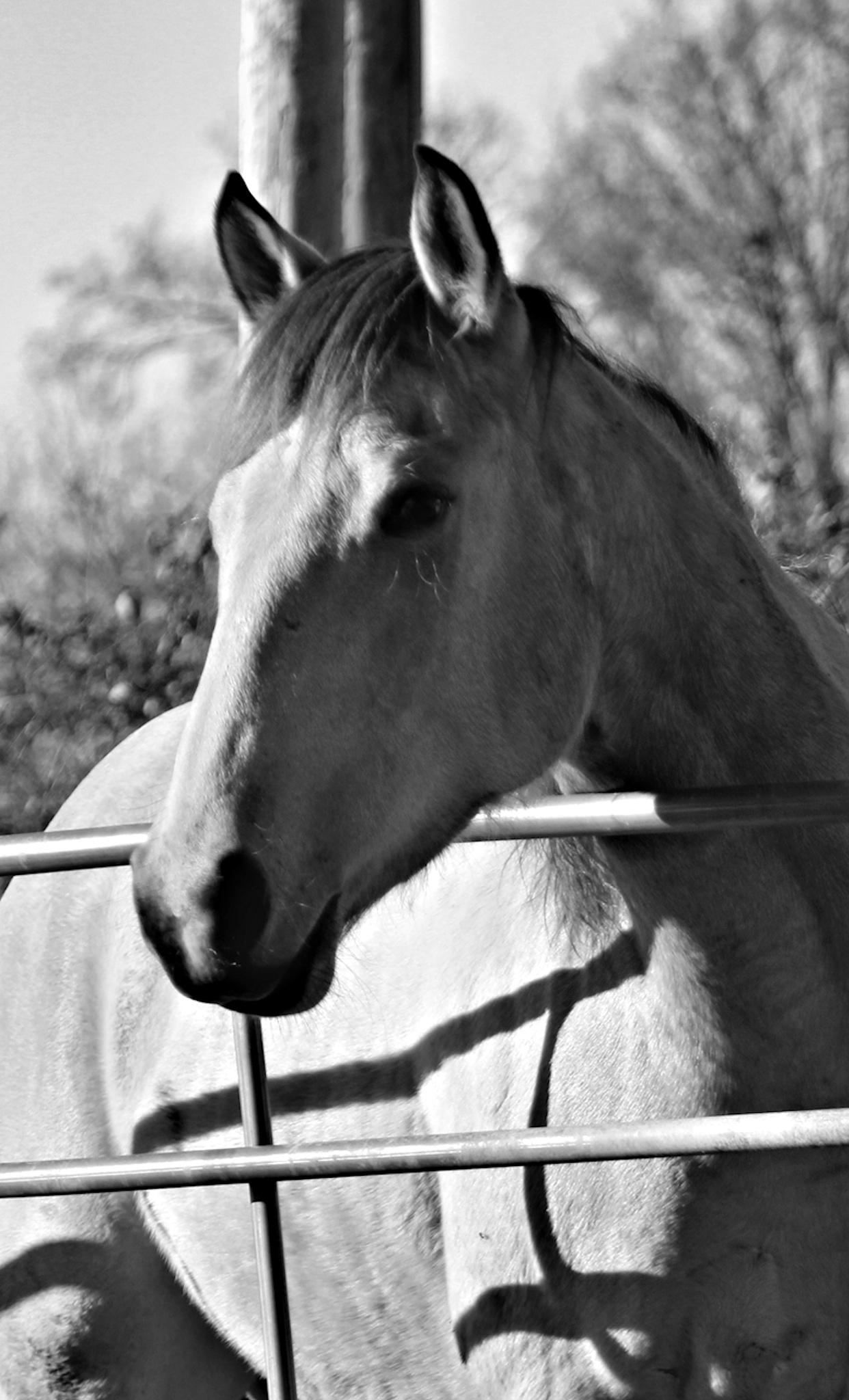 Horse in B&W by dubblybubbly51