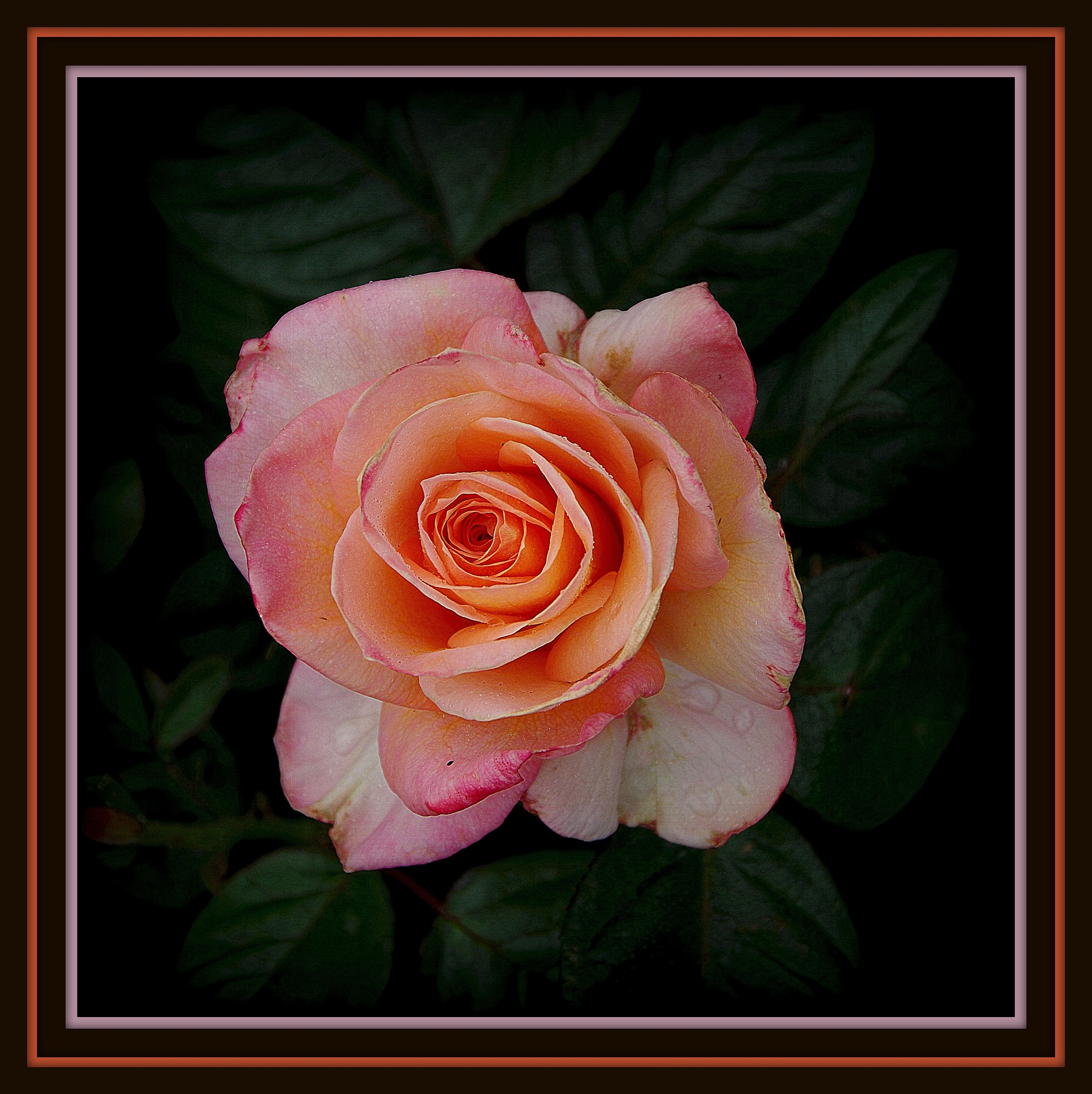 some of my roses..# 5 by ragnes840