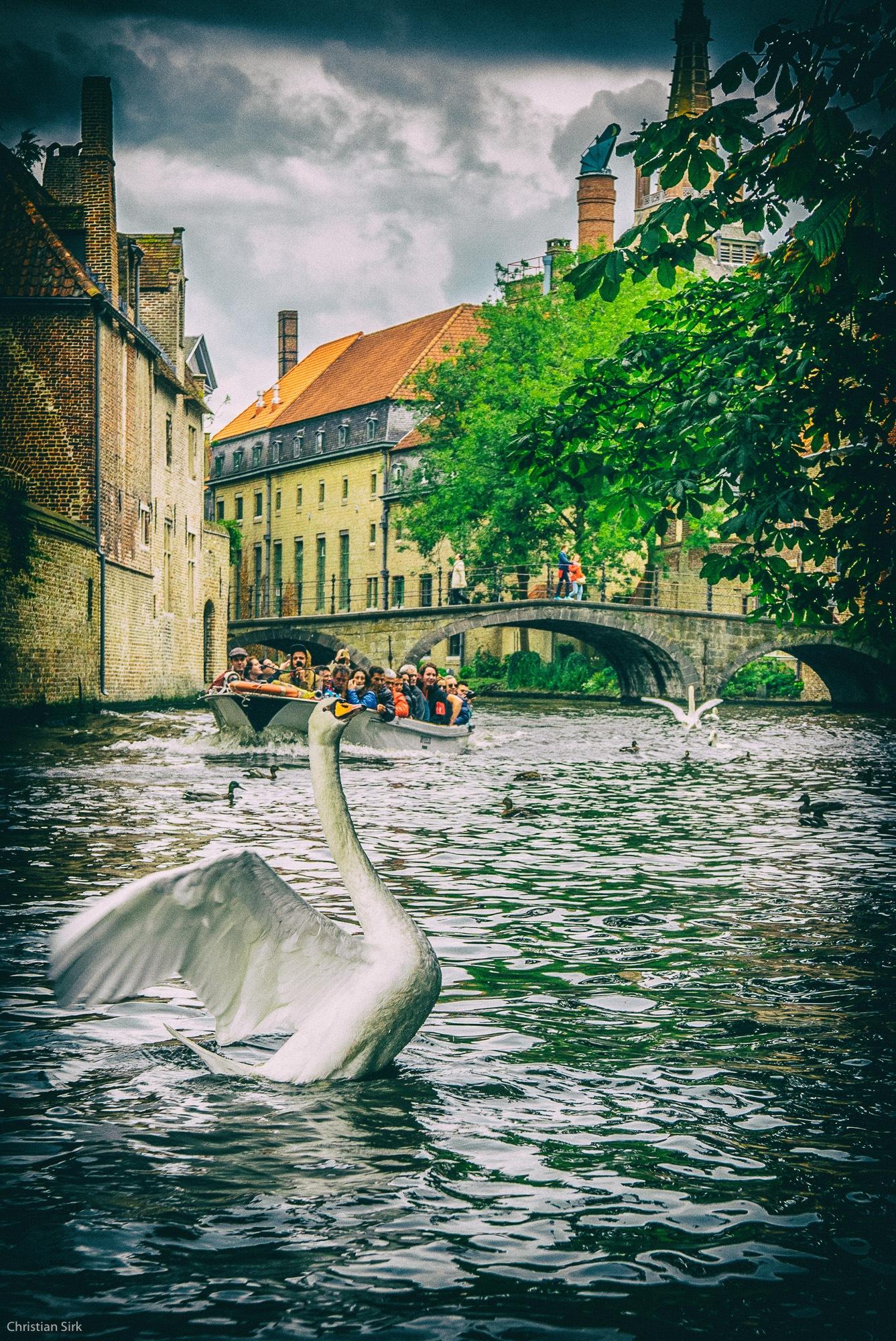 swan by csirk