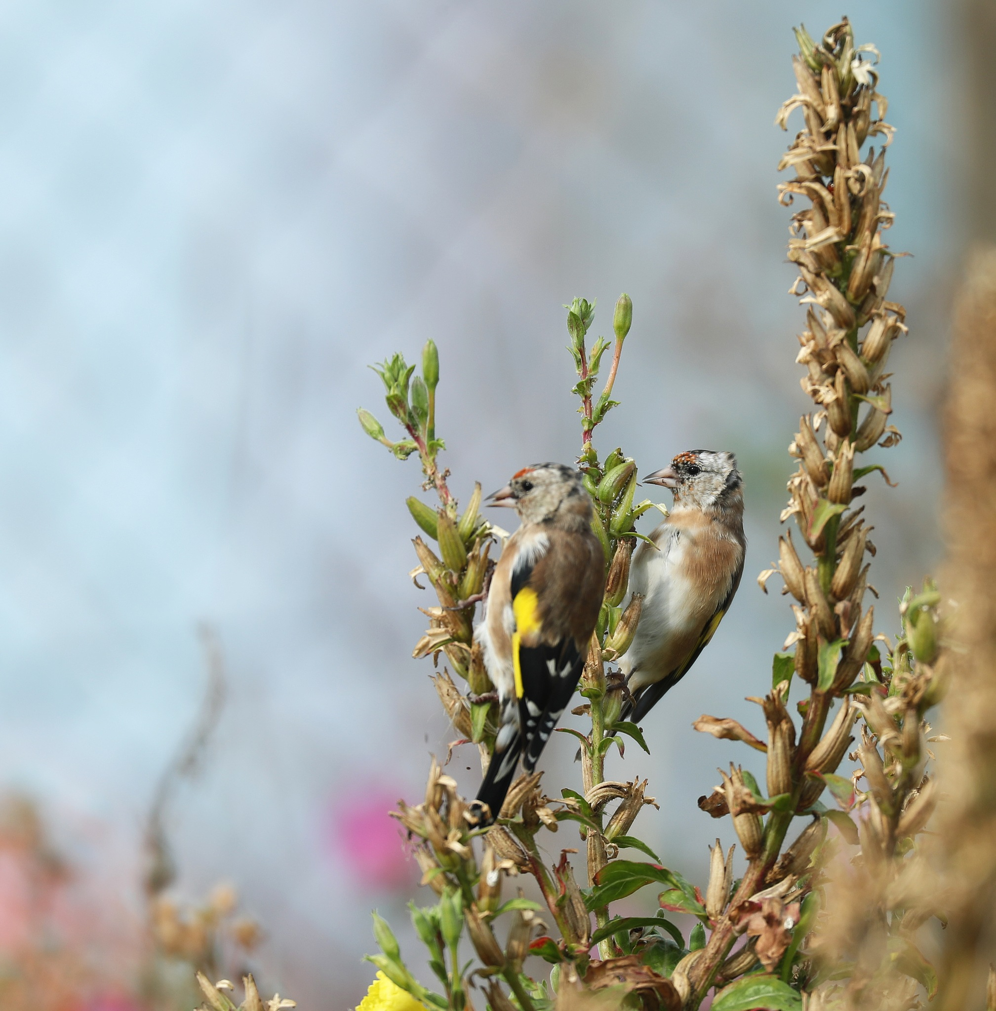Putters European goldfinch by firstsnakeman