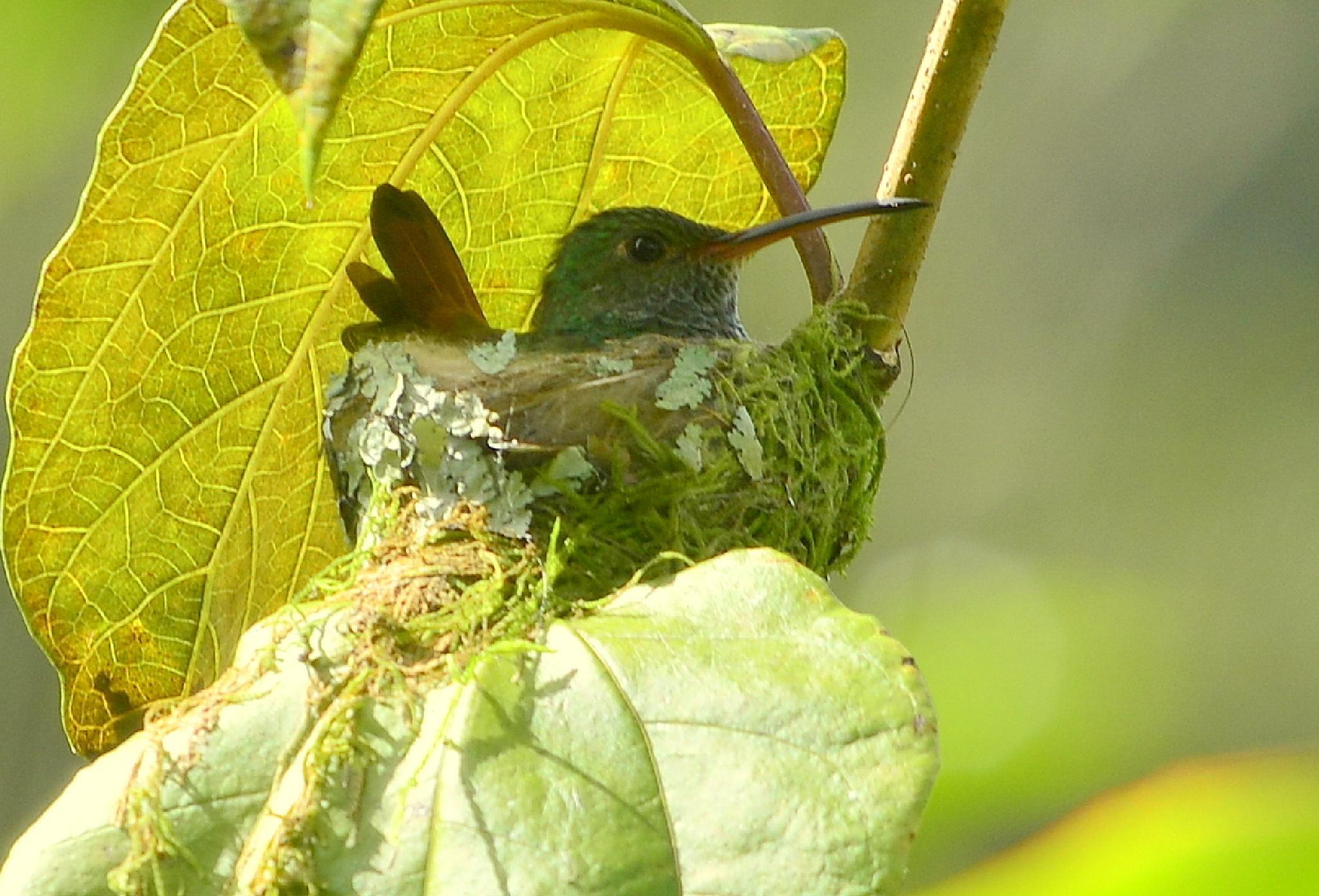 Hummingbird nest by gunder.jonsson