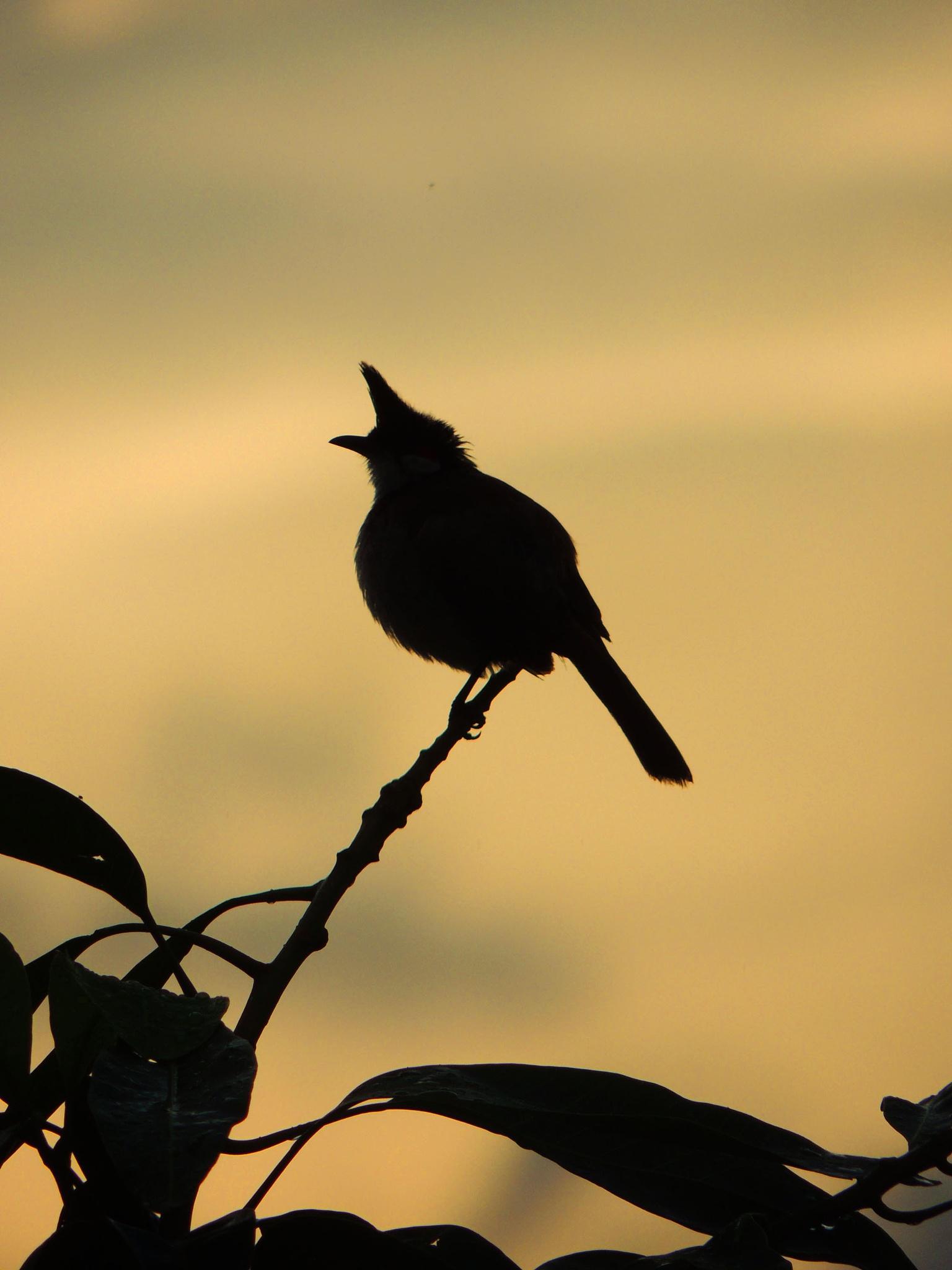 Photo in Animal #bird #bulbulbird