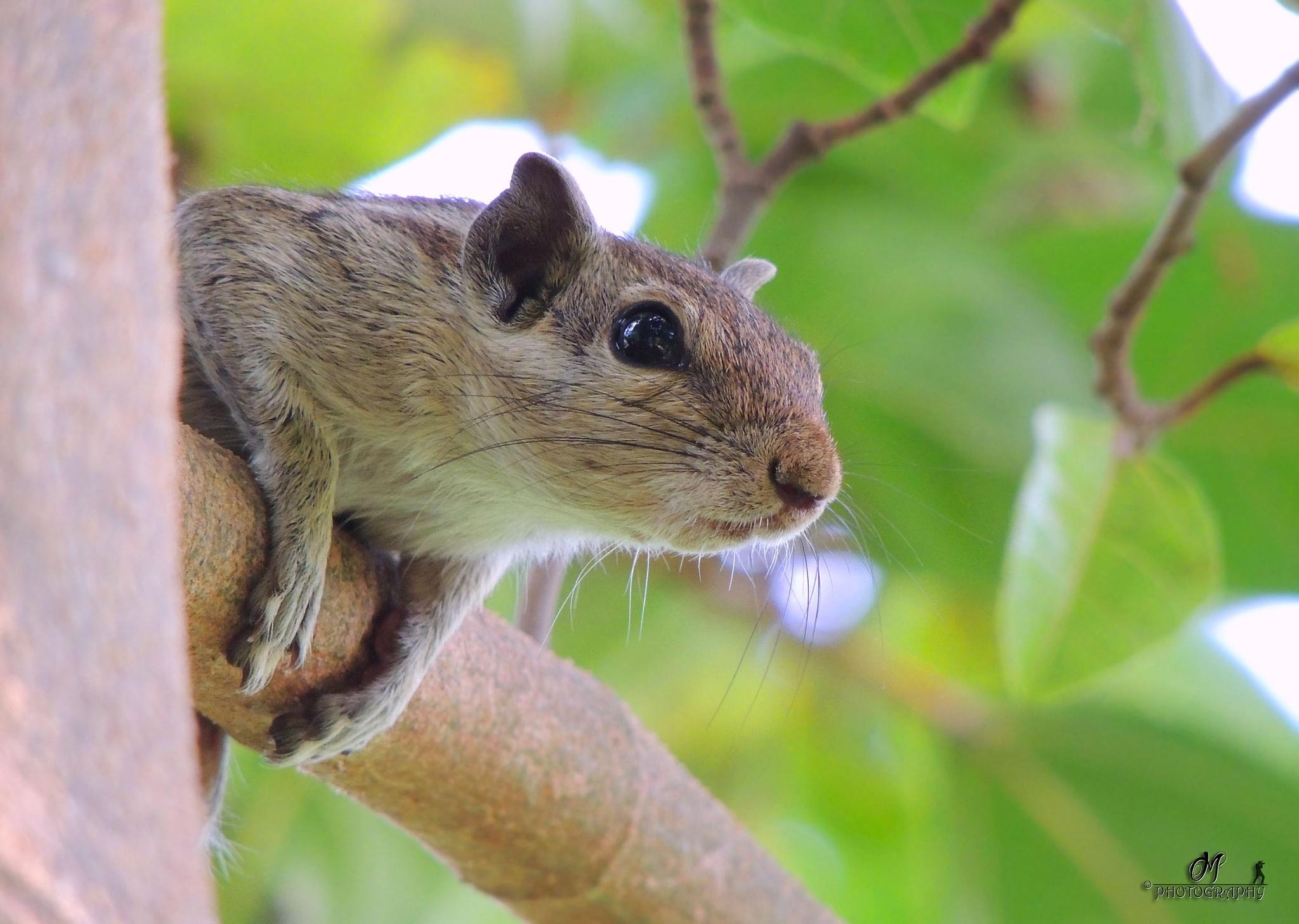 Squirrel by Malay Karmakar