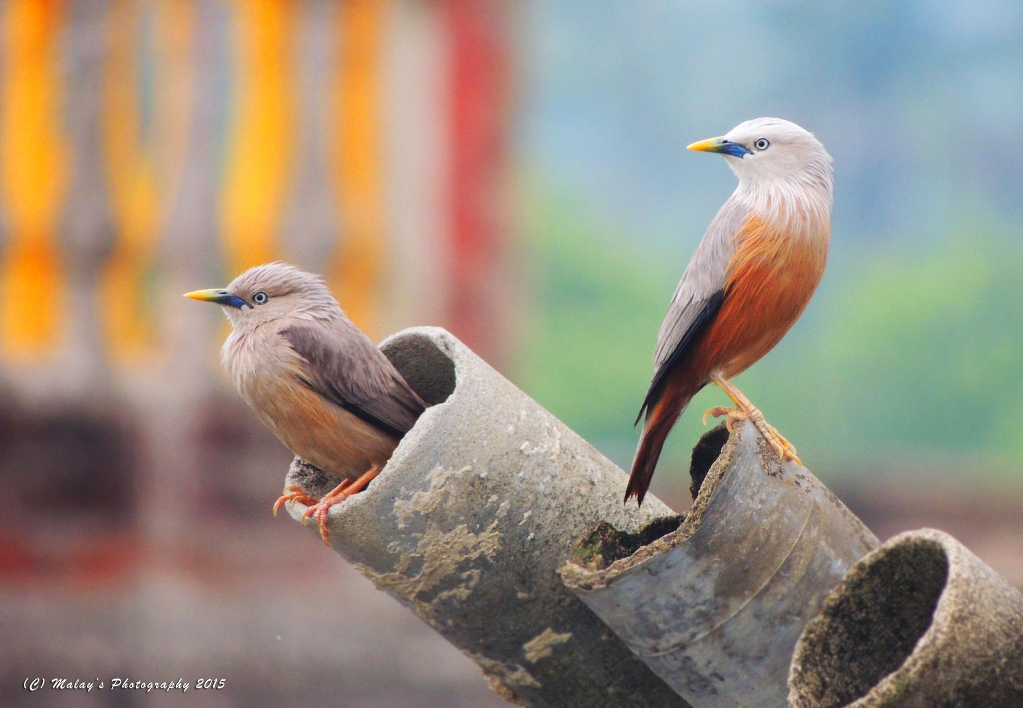 Chestnut-tailed Starling by Malay Karmakar