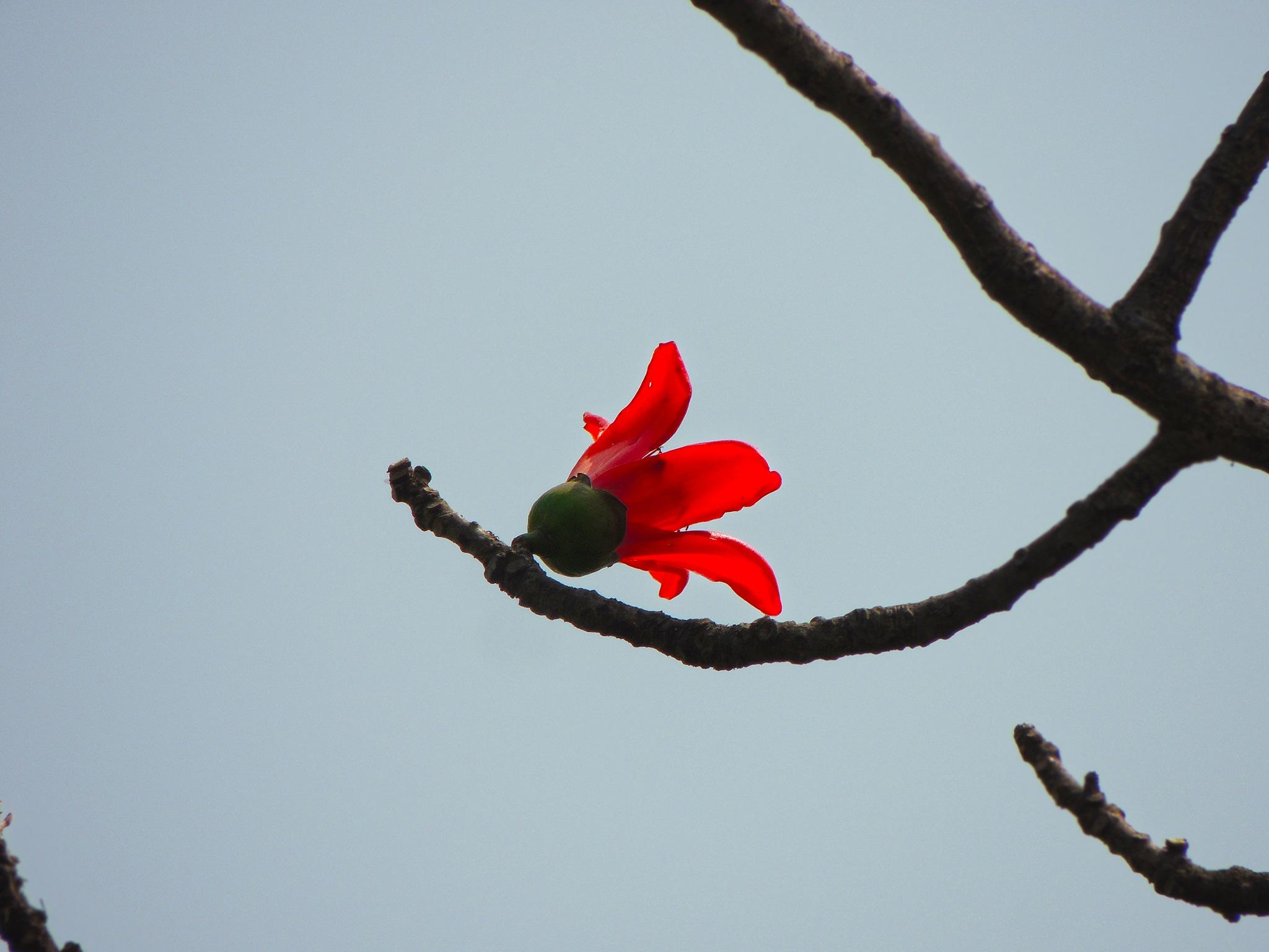 Shimul Flower by Malay Karmakar