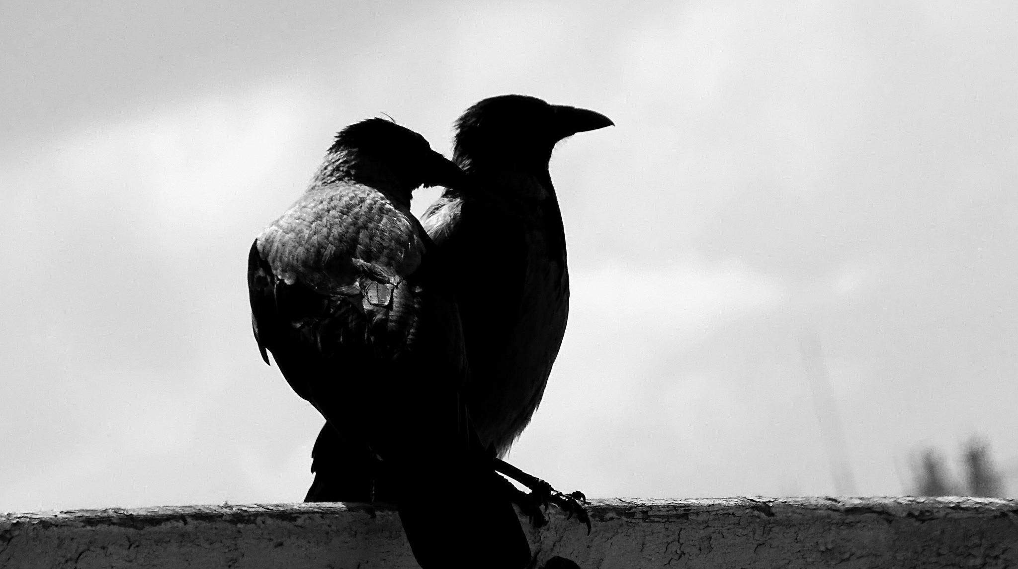 hooded crows by EL Greco