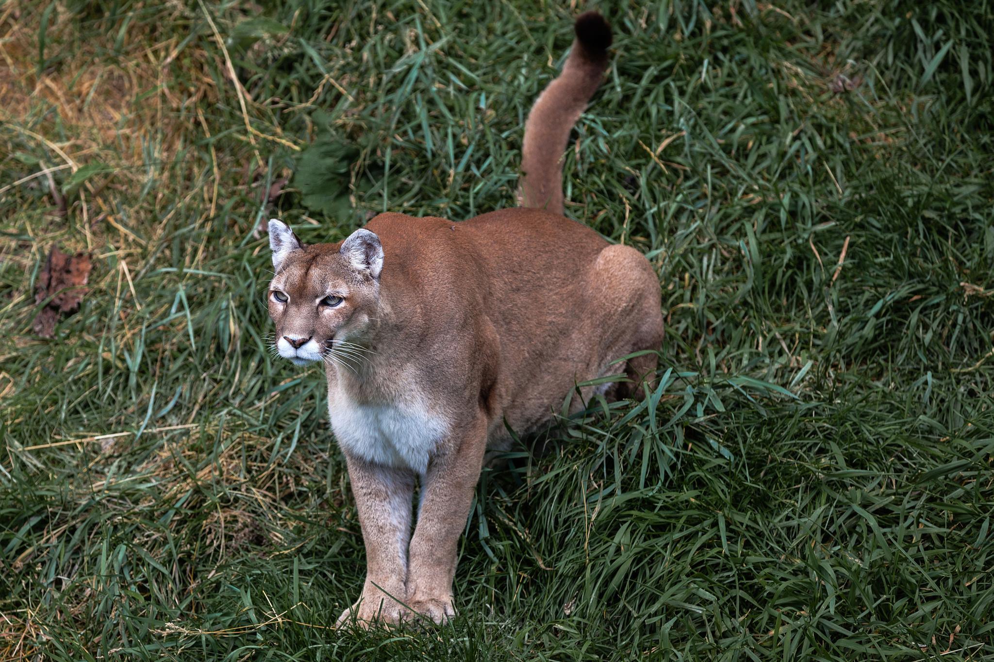 Cougar by Stéphane David