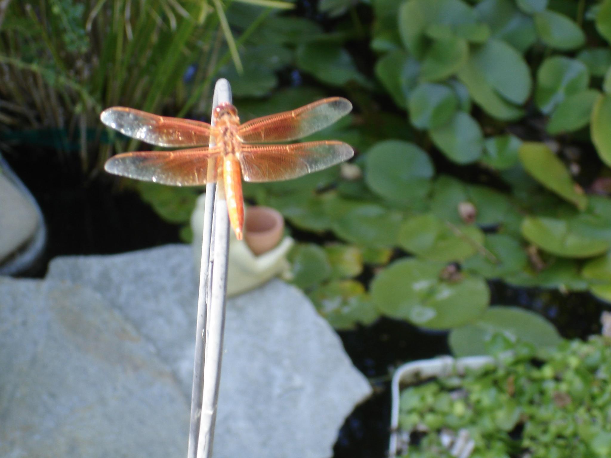 Dragonfly by rboyan88