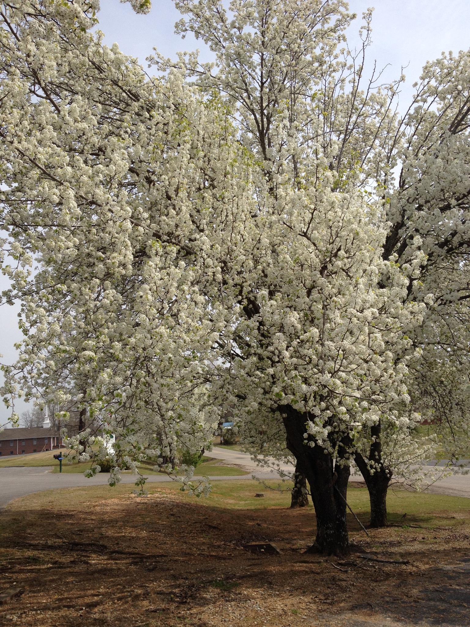 White tree by lisarobertsbell