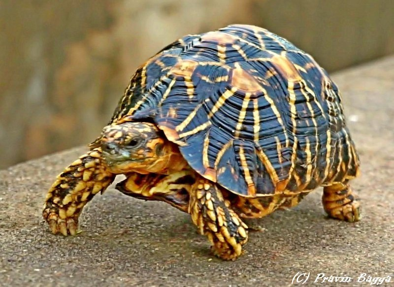Indian star turtle by Pravin Bagga