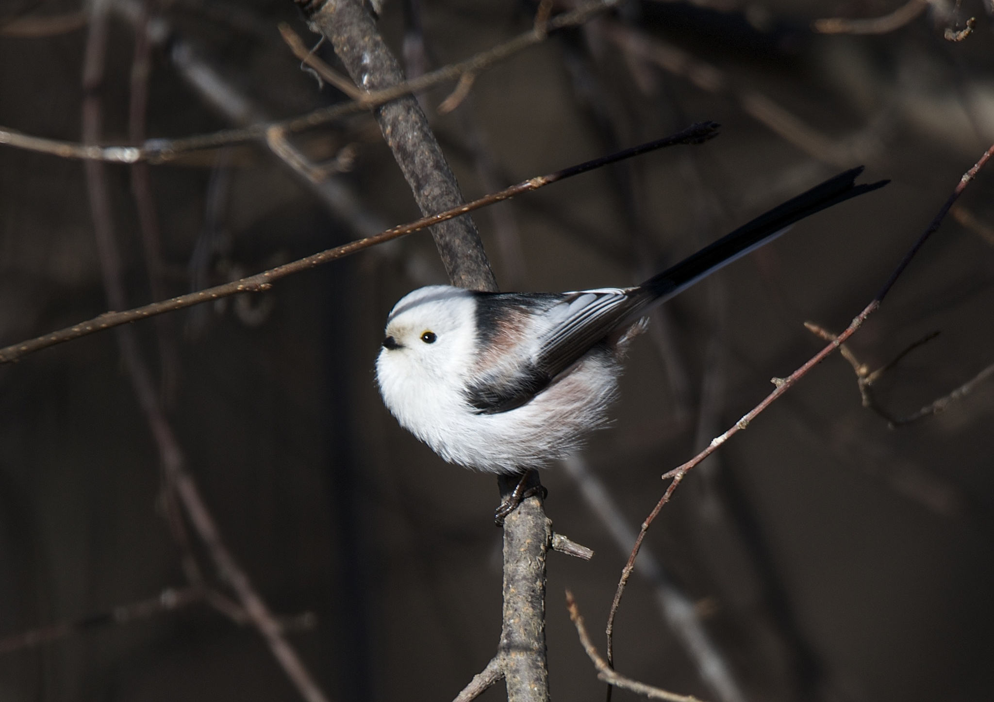 Long tailed tit by liv