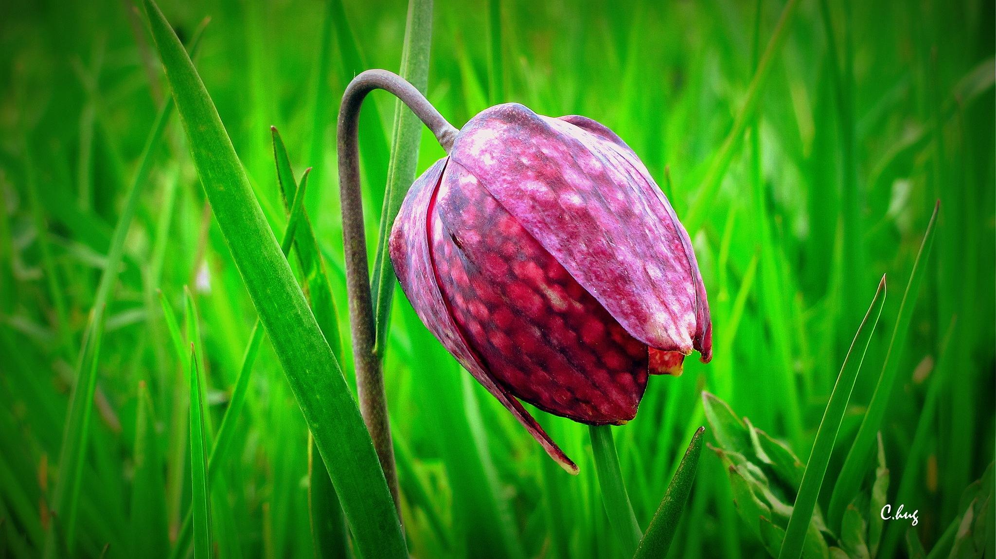 Fritillaire pintade=Fritillaria meleagris by Huguenin Claude