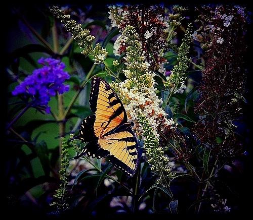 same butterfly by Marisa Bonacum
