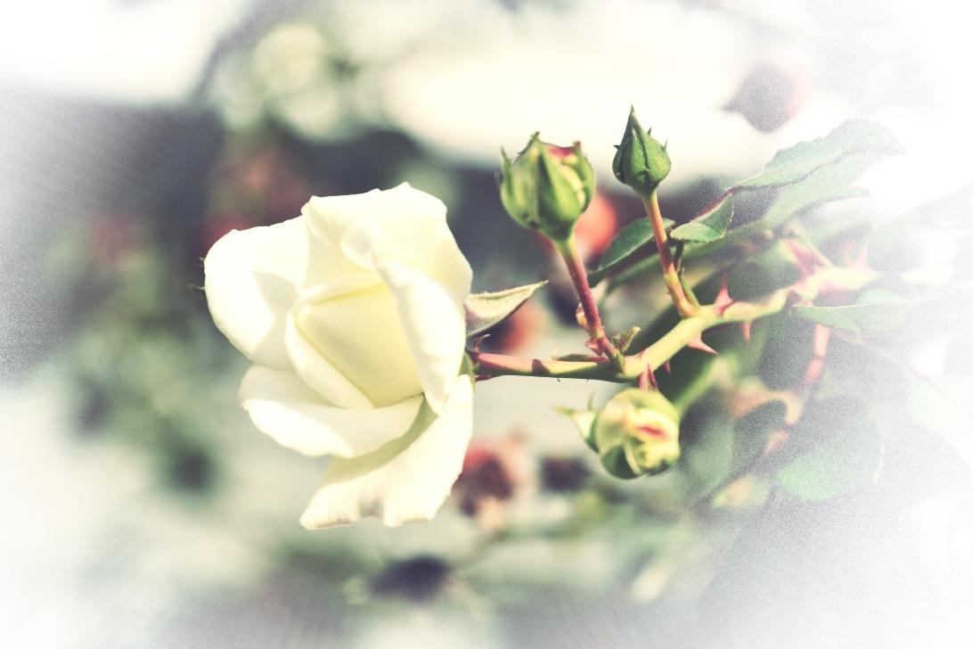 A rose by Marisa Bonacum