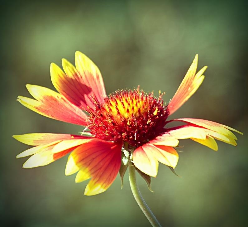 Blanket flower by Marisa Bonacum
