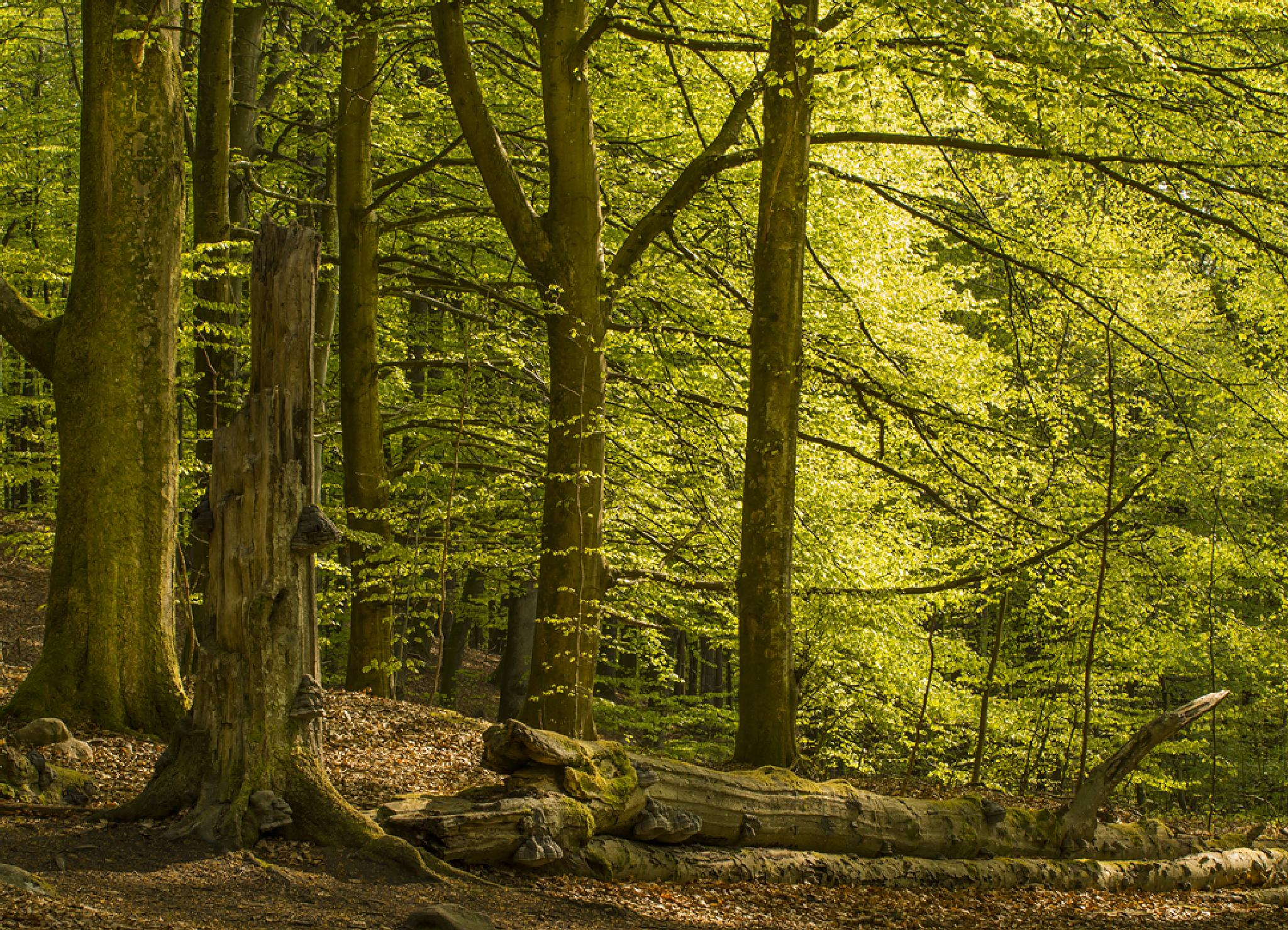 Springtime in the forest by Peter Samuelsson