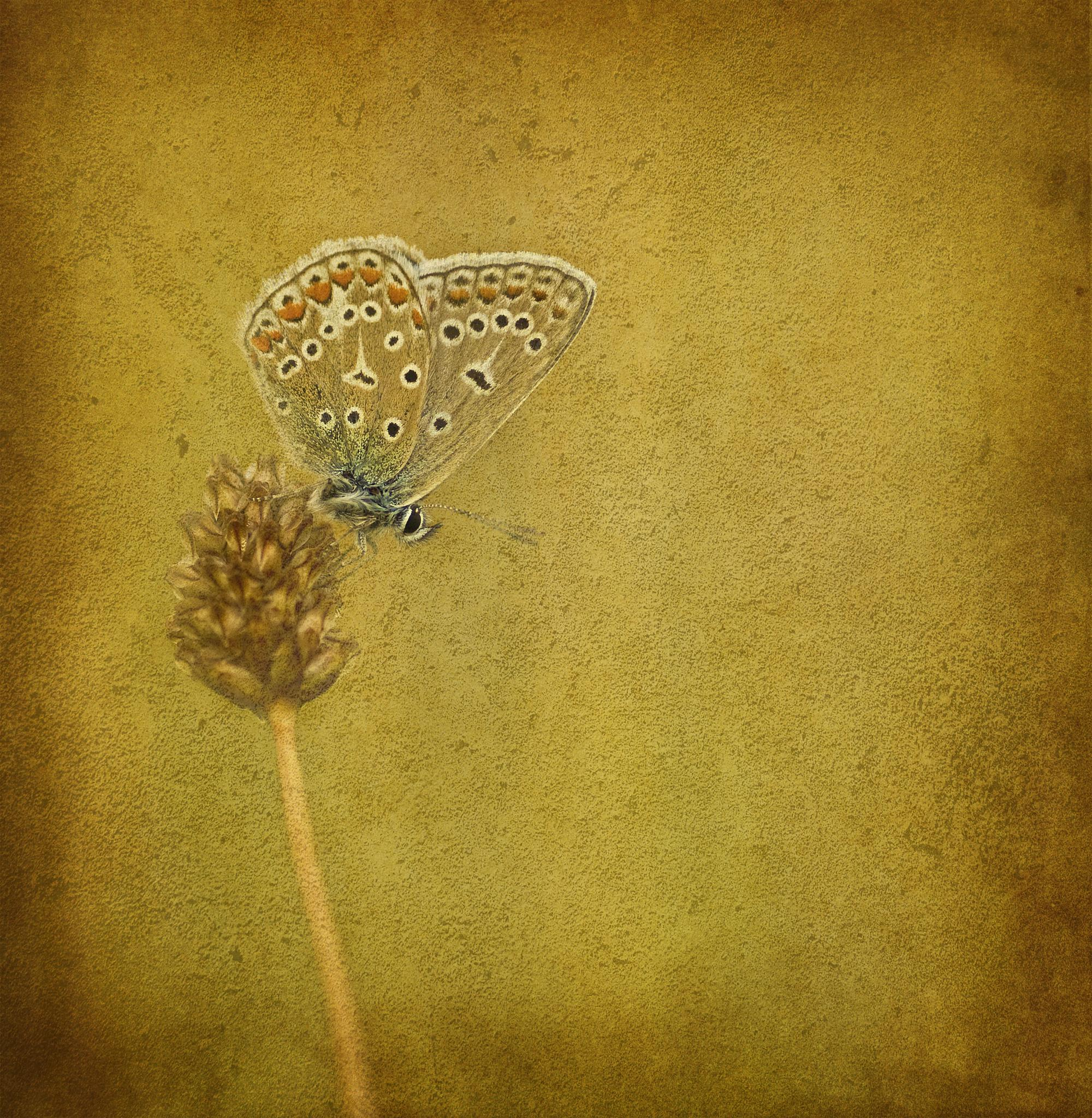 Butterfly by Peter Samuelsson