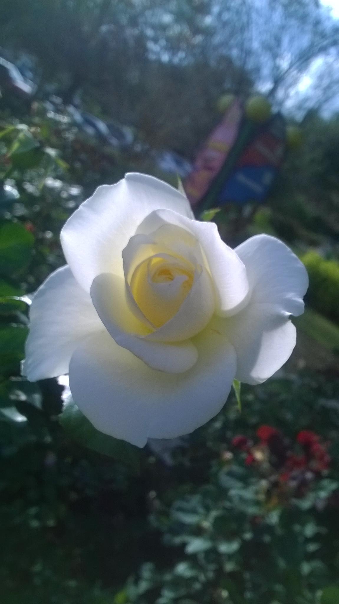 White Rose by phillip.medders