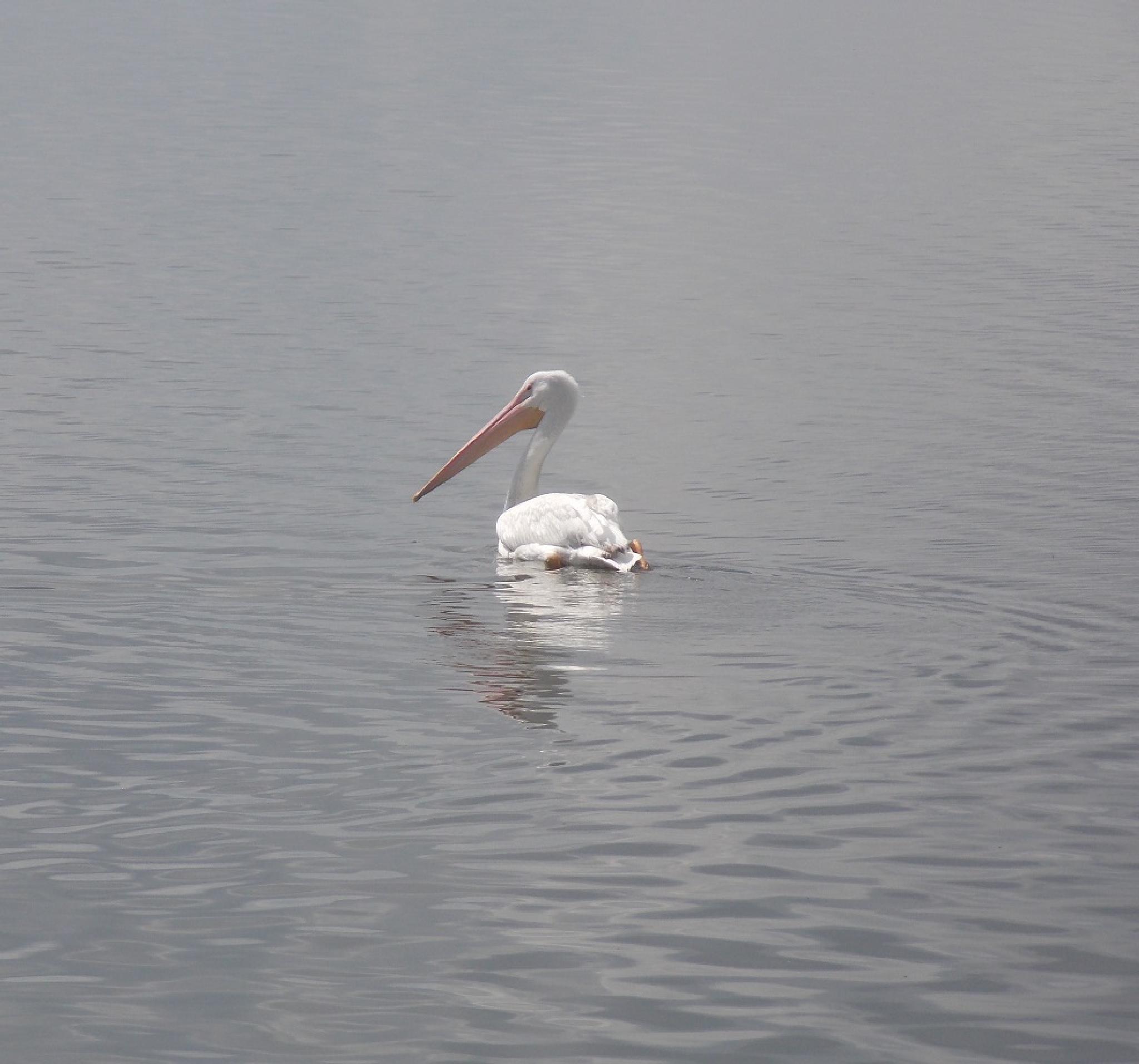 Fresh Water Pelican by phillip.medders