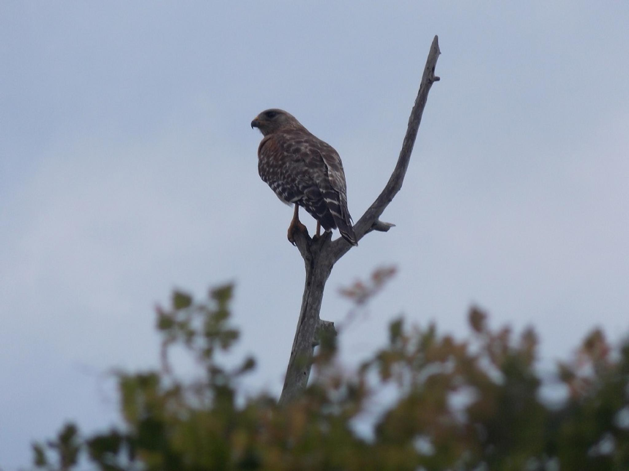 Red Shouldered Hawk by phillip.medders