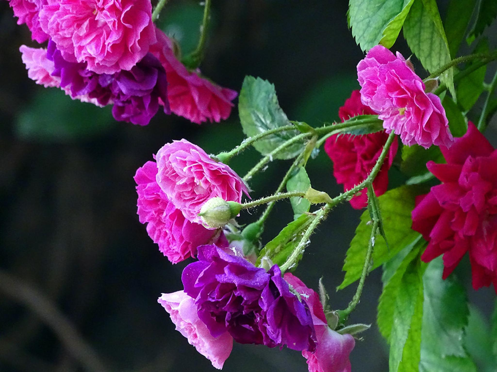 rose by mardinmukri