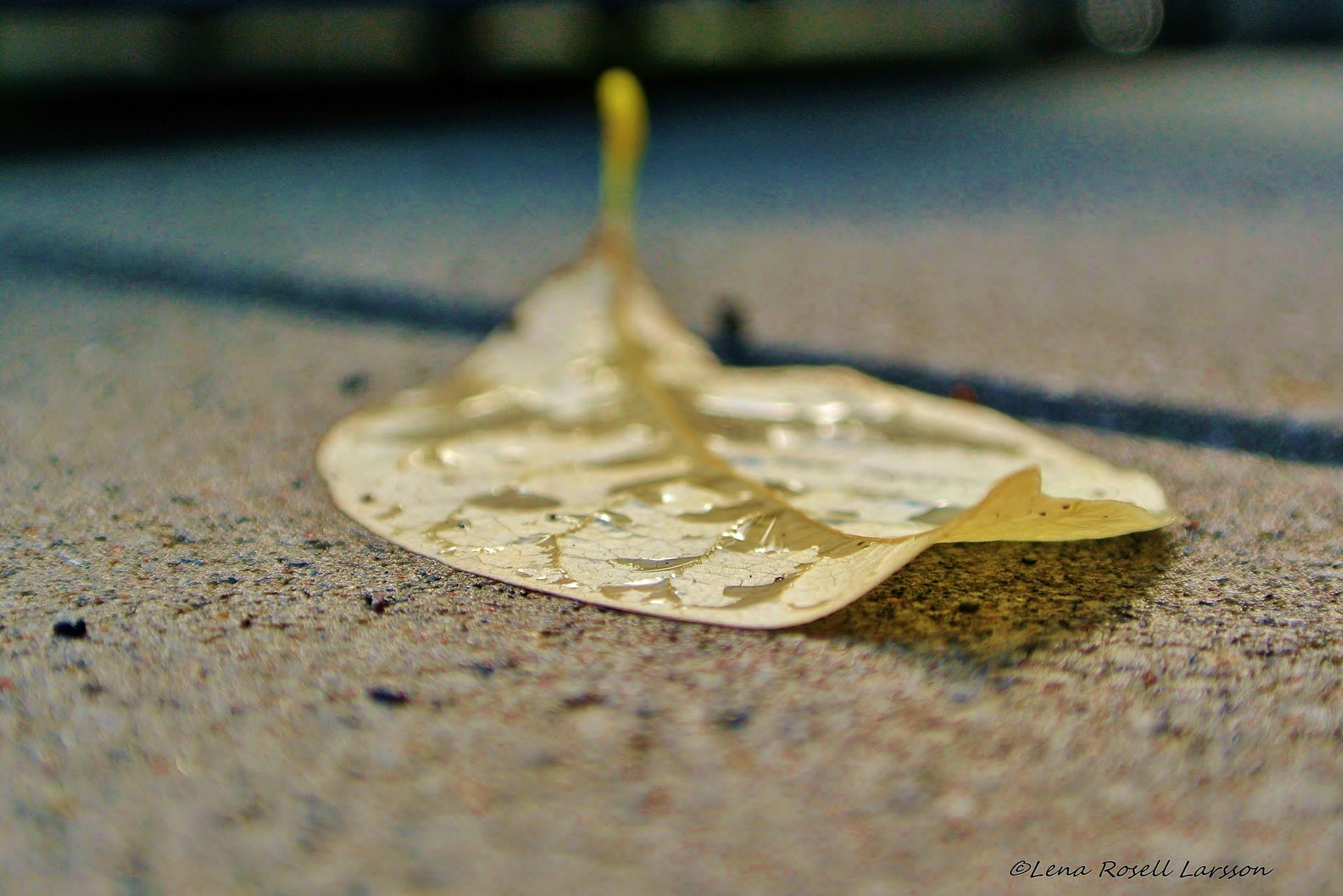 Lonely Leaf by lena.roselllarsson