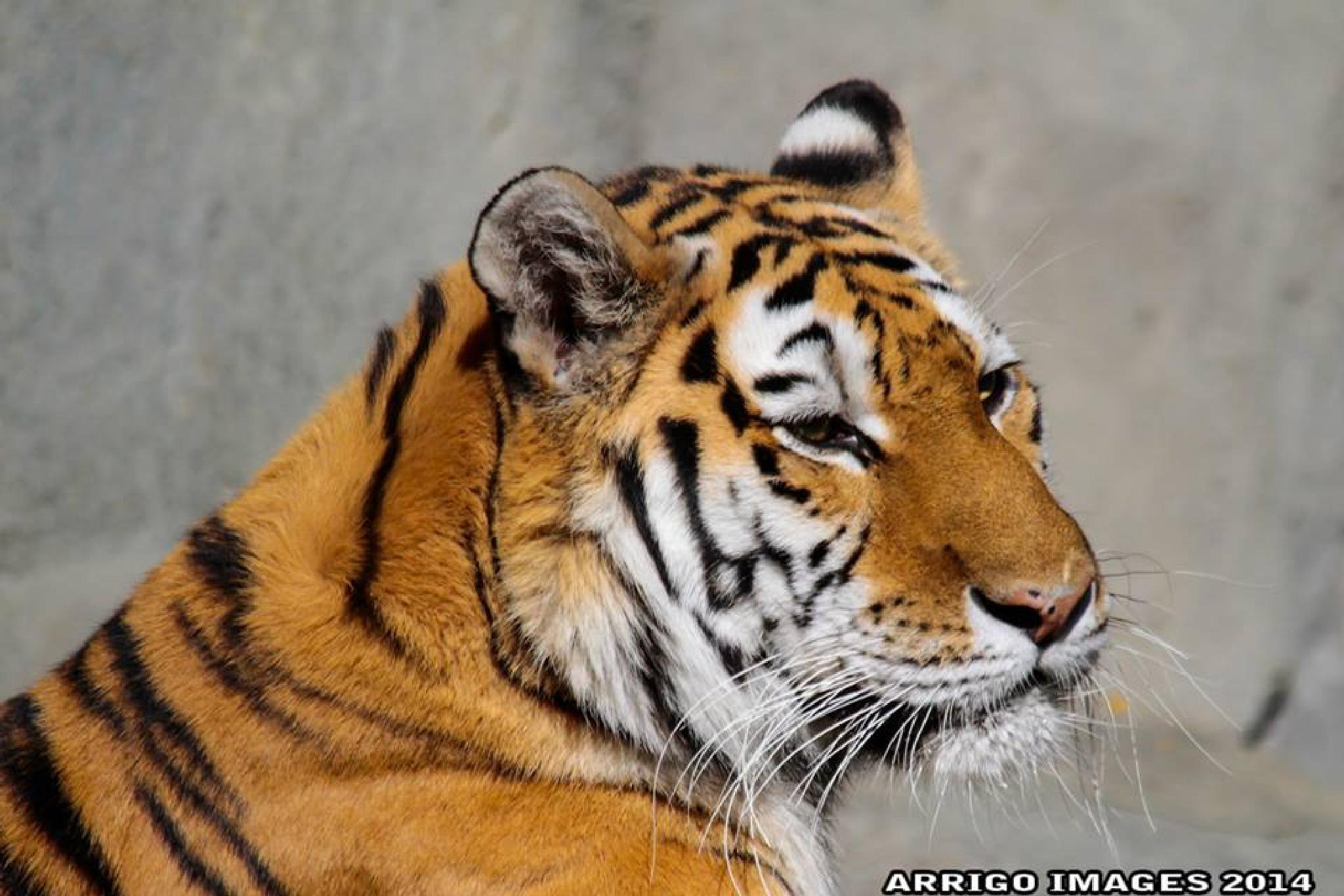 TIGER by carmen.arrigo