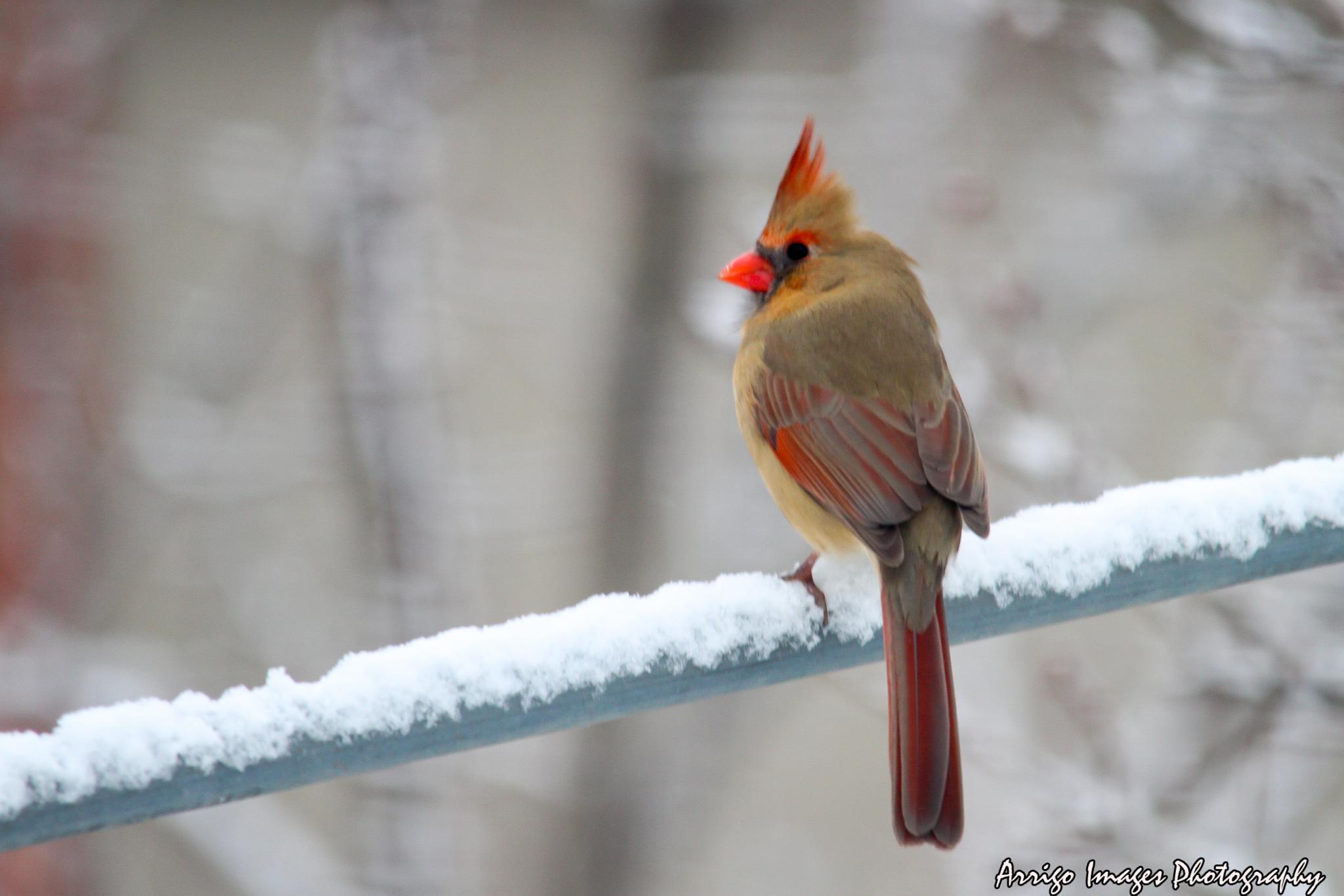 Lady Cardinal by carmen.arrigo