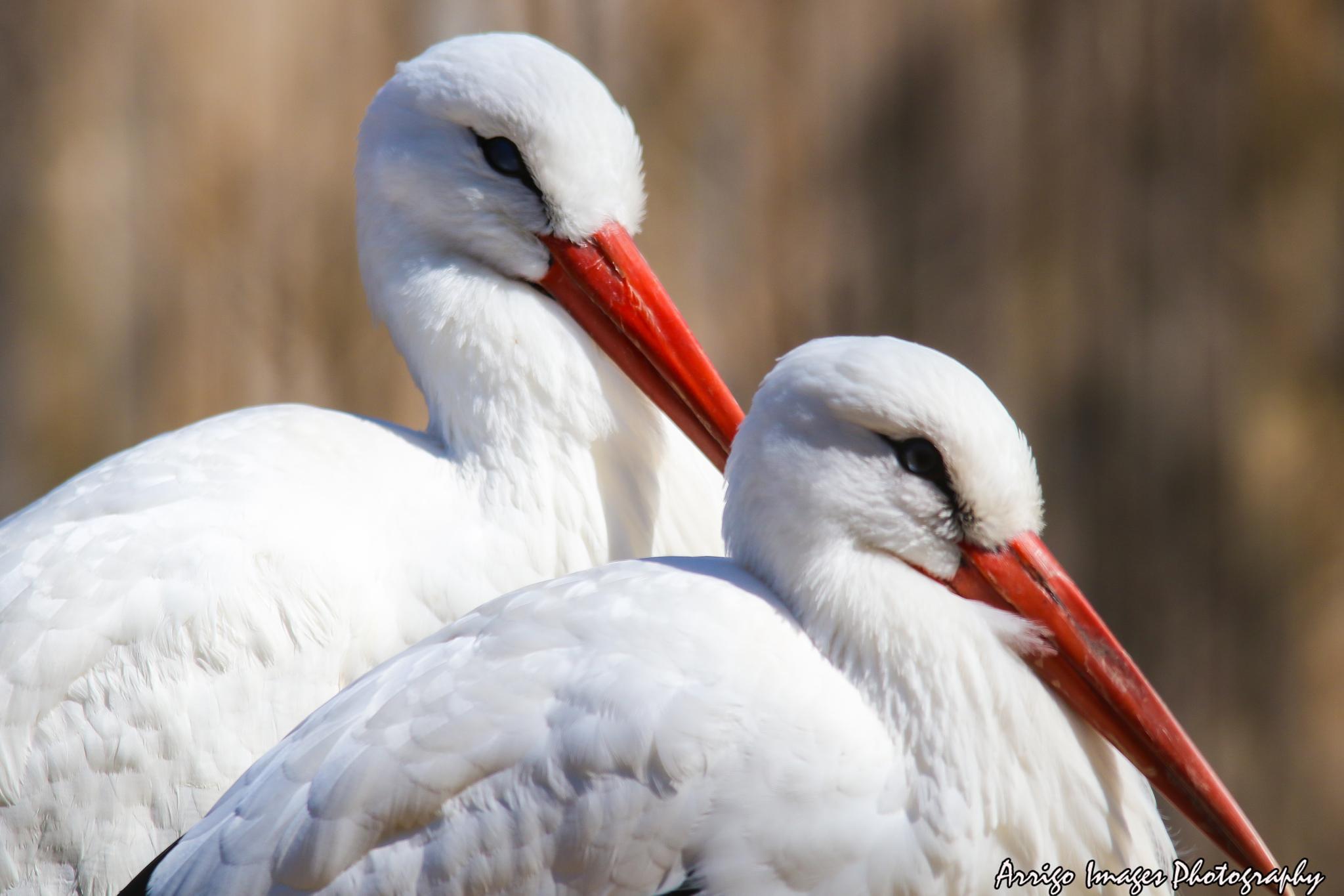 stork by carmen.arrigo