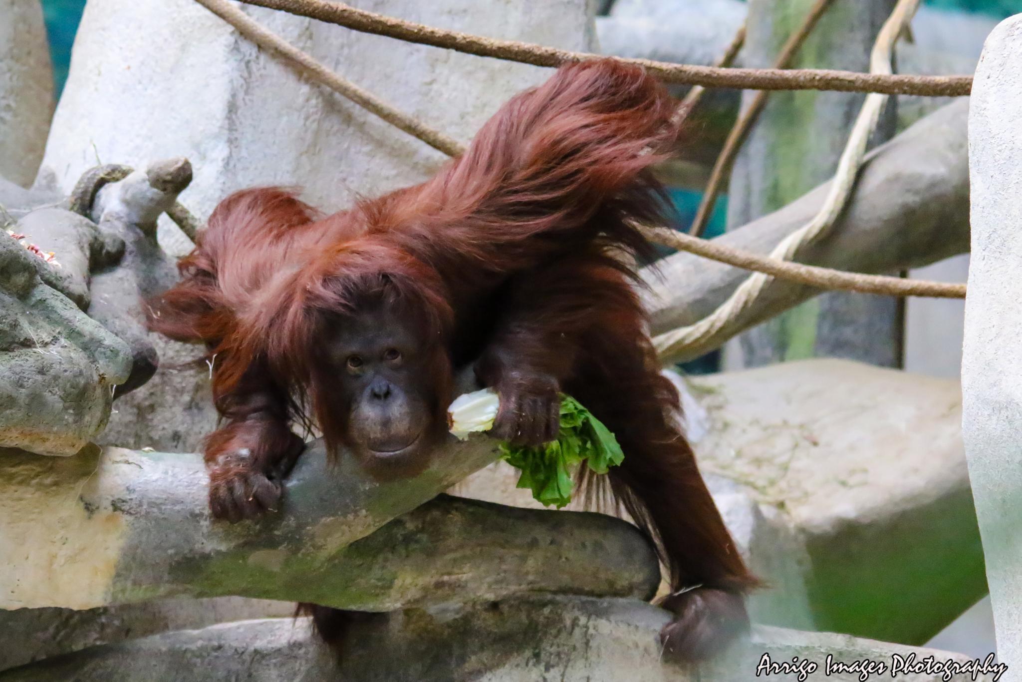 Orangutan by carmen.arrigo