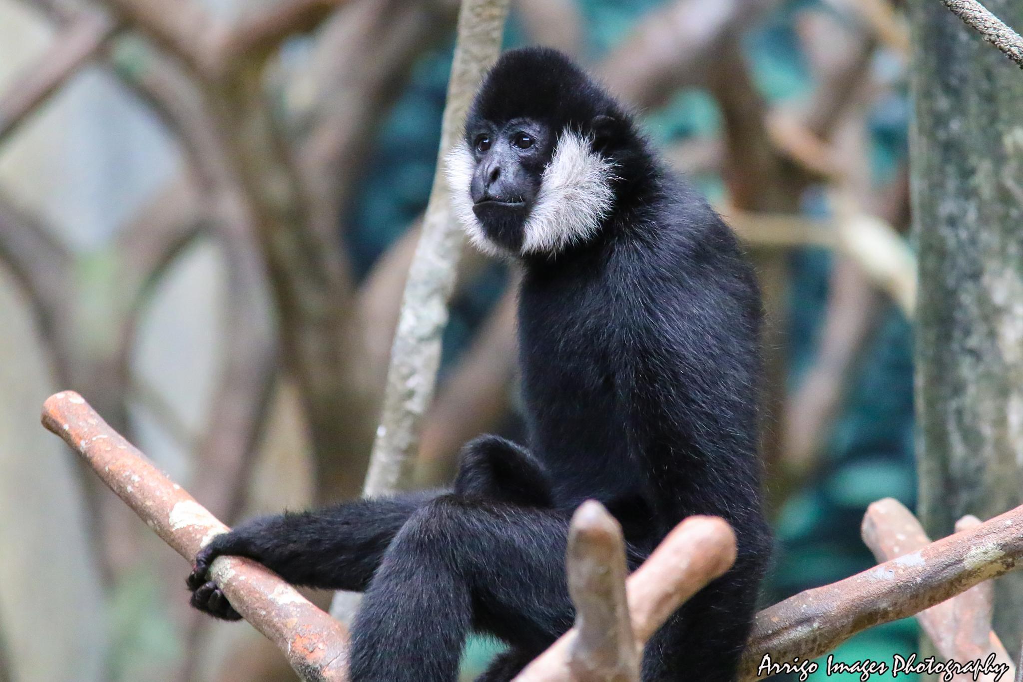 Gibbon by carmen.arrigo