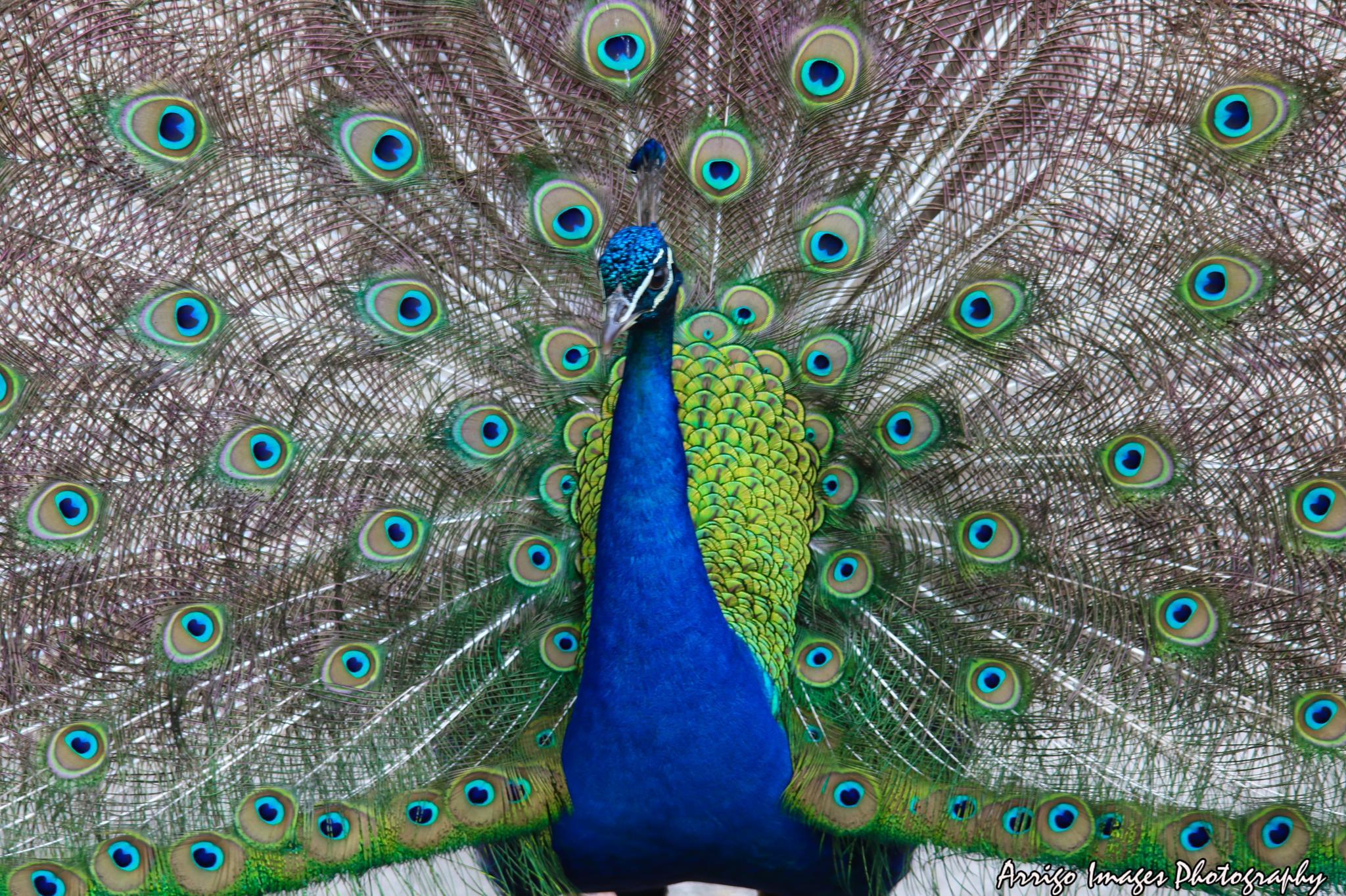 peacock by carmen.arrigo