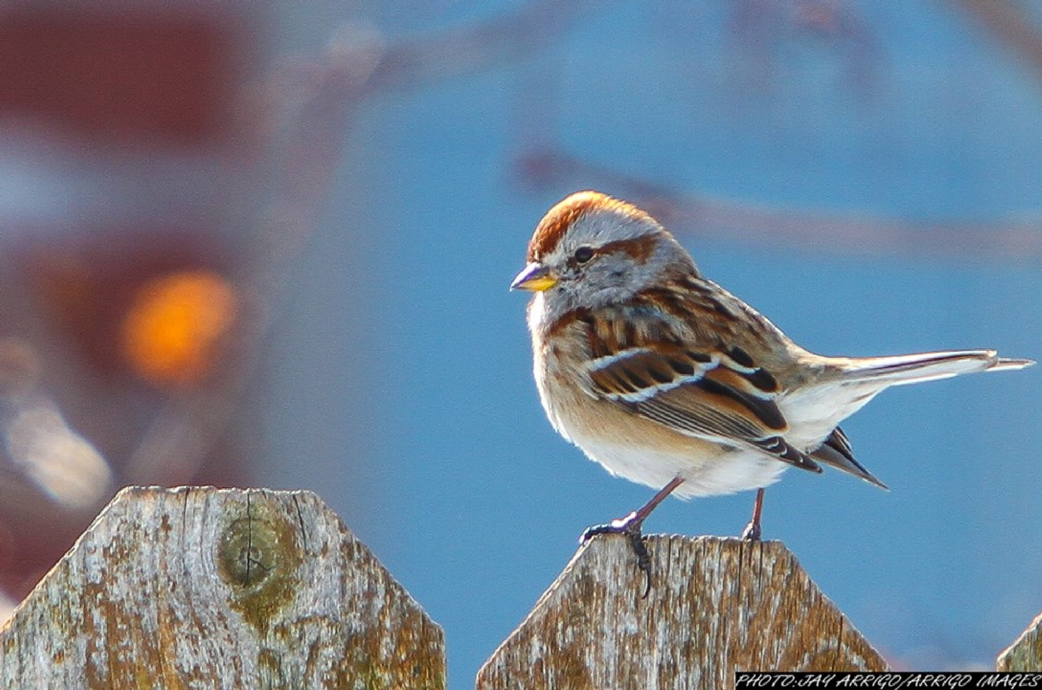 Sparrow by carmen.arrigo