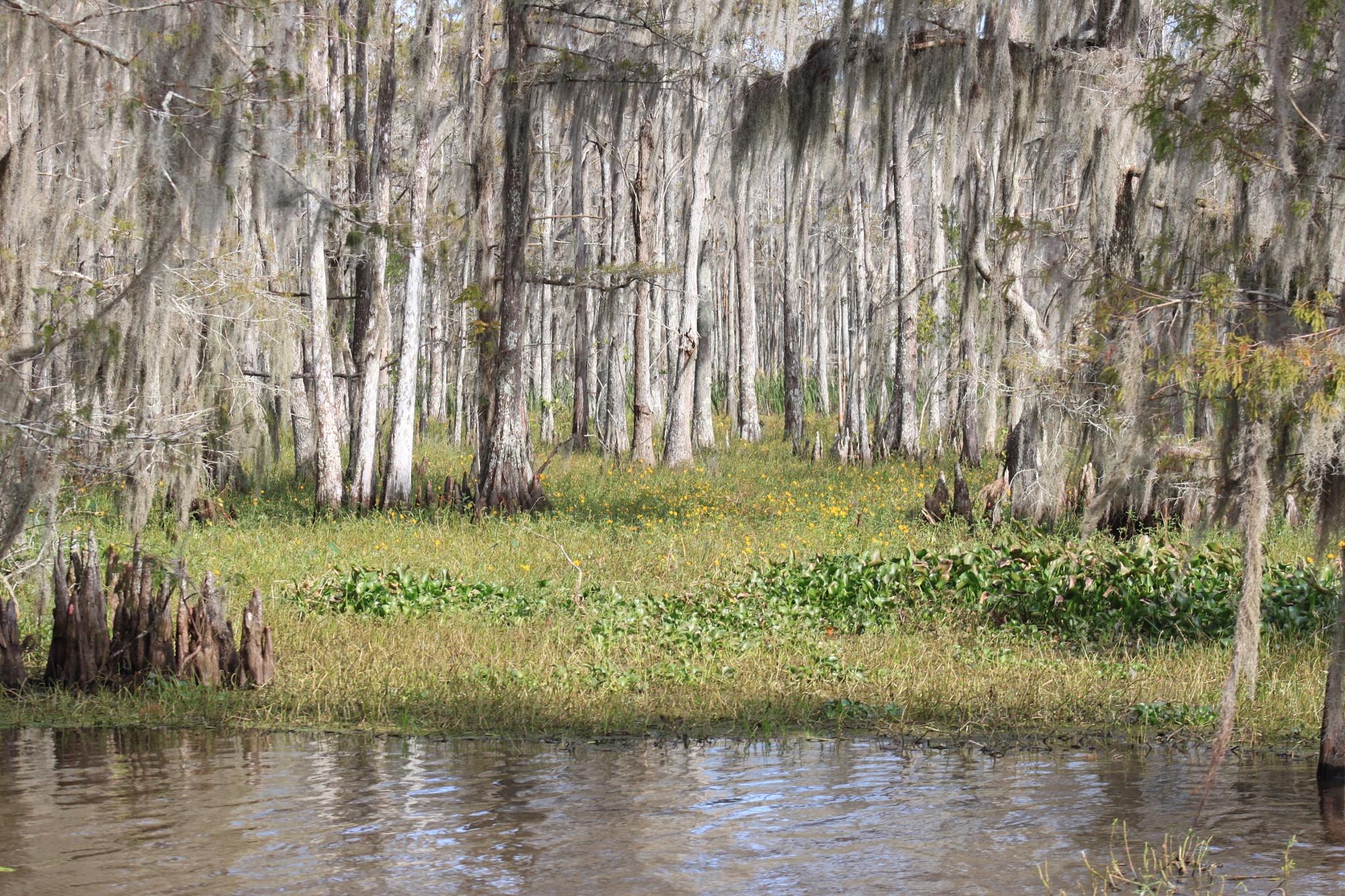Louisiana Cypress Swamp by kajunmedic