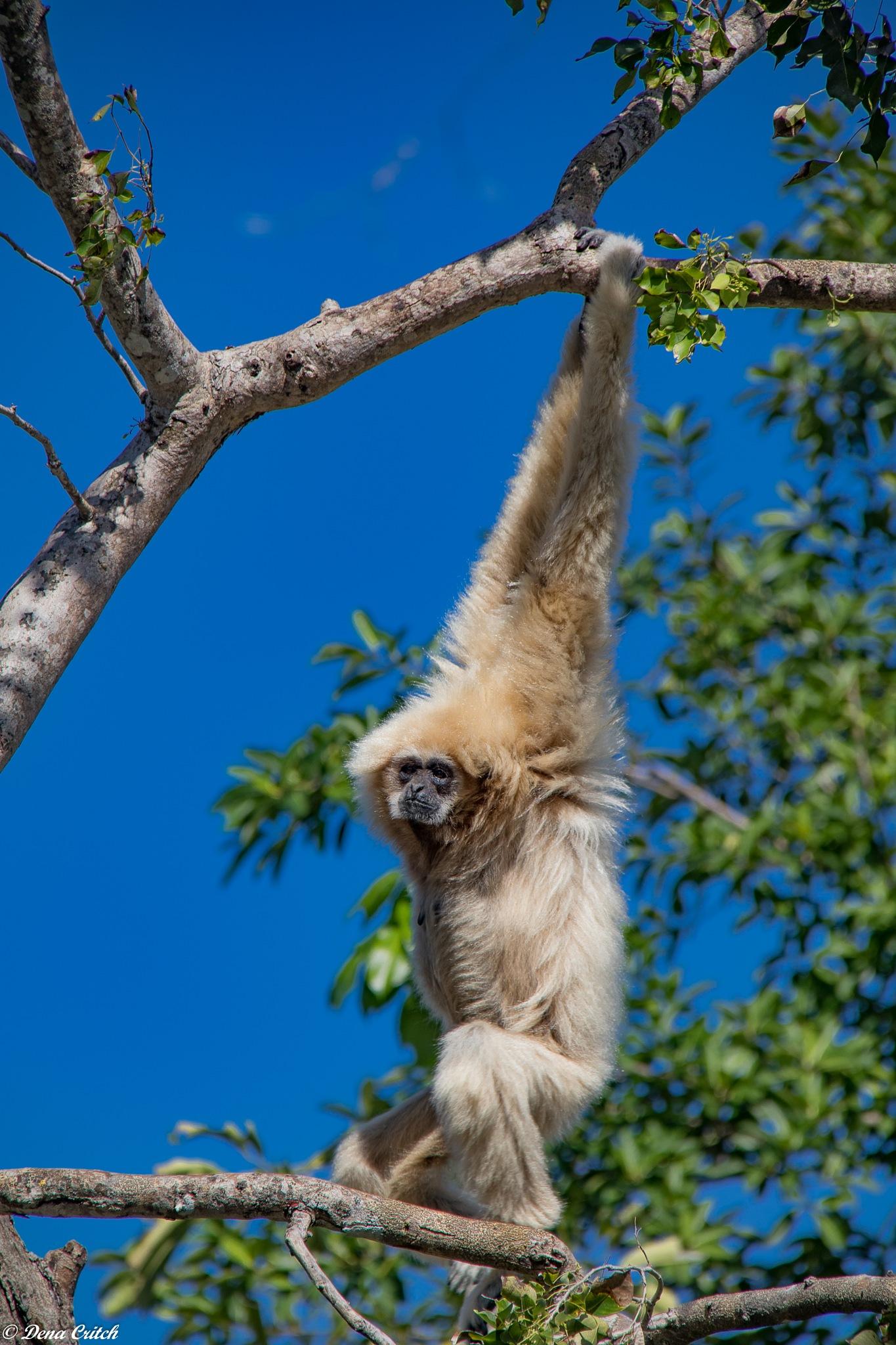 Gibbon Around by dena.critch
