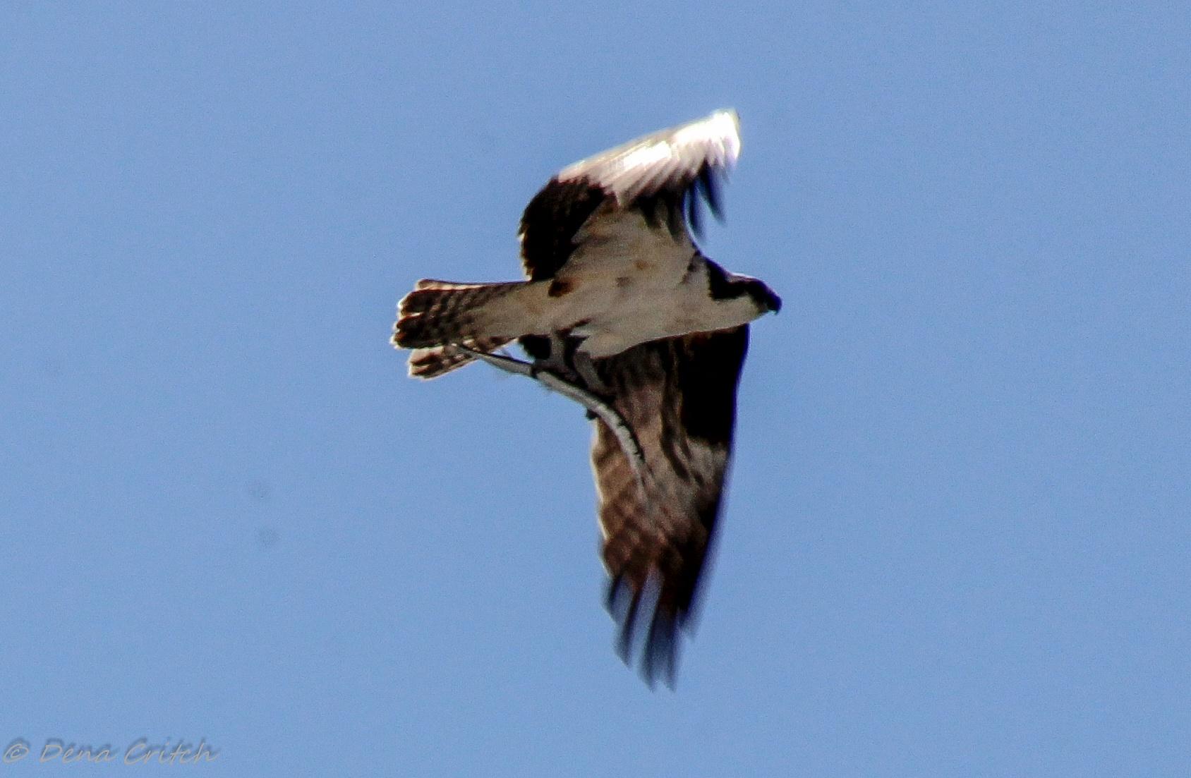Osprey Dinner Time by dena.critch