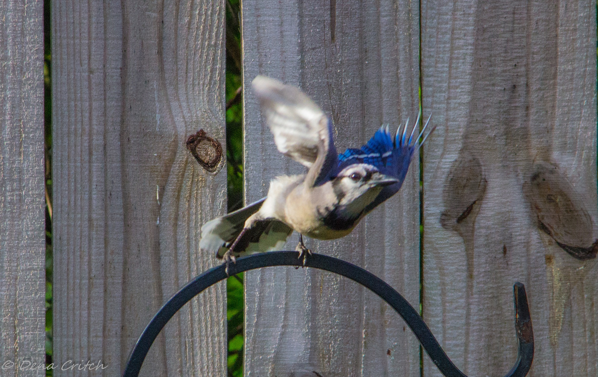 Take Off of the Blue Jay by dena.critch